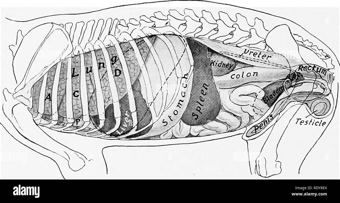 Dog Digestive System Stock Photos Dog Digestive System Stock