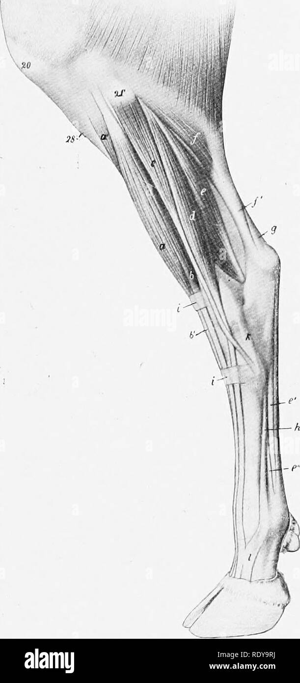 Leg Muscles Lateral Stock Photos Leg Muscles Lateral Stock Images