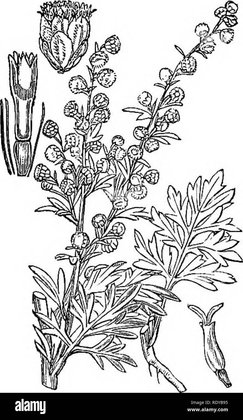 . Illustrations of the British flora: a series of wood engravings, with dissections, of British plants. Botany; Botany. 130. Please note that these images are extracted from scanned page images that may have been digitally enhanced for readability - coloration and appearance of these illustrations may not perfectly resemble the original work.. Fitch, W. H. (Walter Hood), 1817-1892; Smith, Worthington George, 1835-1917; Bentham, George, 1800-1884. Handbook of the British flora. London, L. Reeve & Co. Stock Photo