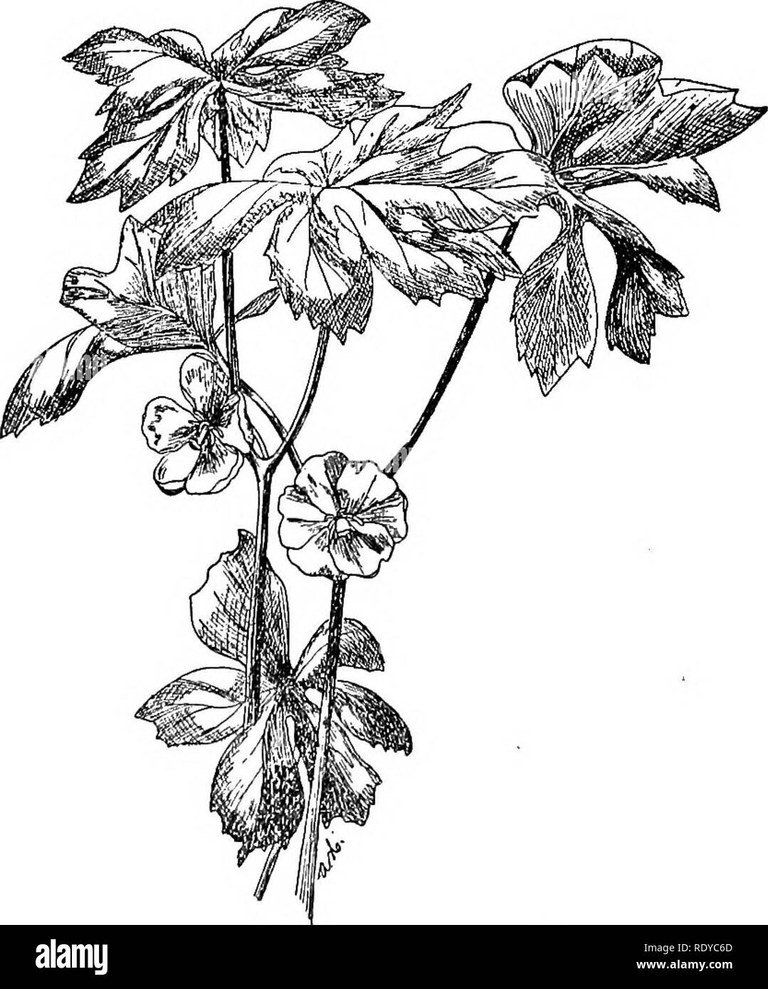 . A manual of poisonous plants, chiefly of eastern North America, with brief notes on economic and medicinal plants, and numerous illustrations. Poisonous plants. 470 MANUAIv OF POISONOUS PLANTS as the petals; pistil 1; stigma large, flat, sessile; fruit a large fleshy berry, 1-celled and many-seeded, each seed enclosed in a pulpy aril. 4 species, one in eastern North America and the others iu India and Eastern Asia. The P. emodi of Asia contains the same principles as the American species and is poisonous. Podophyllum peltatum L. Mandrake Perennial herb, with creeping rootstocks and thick fib - Stock Image