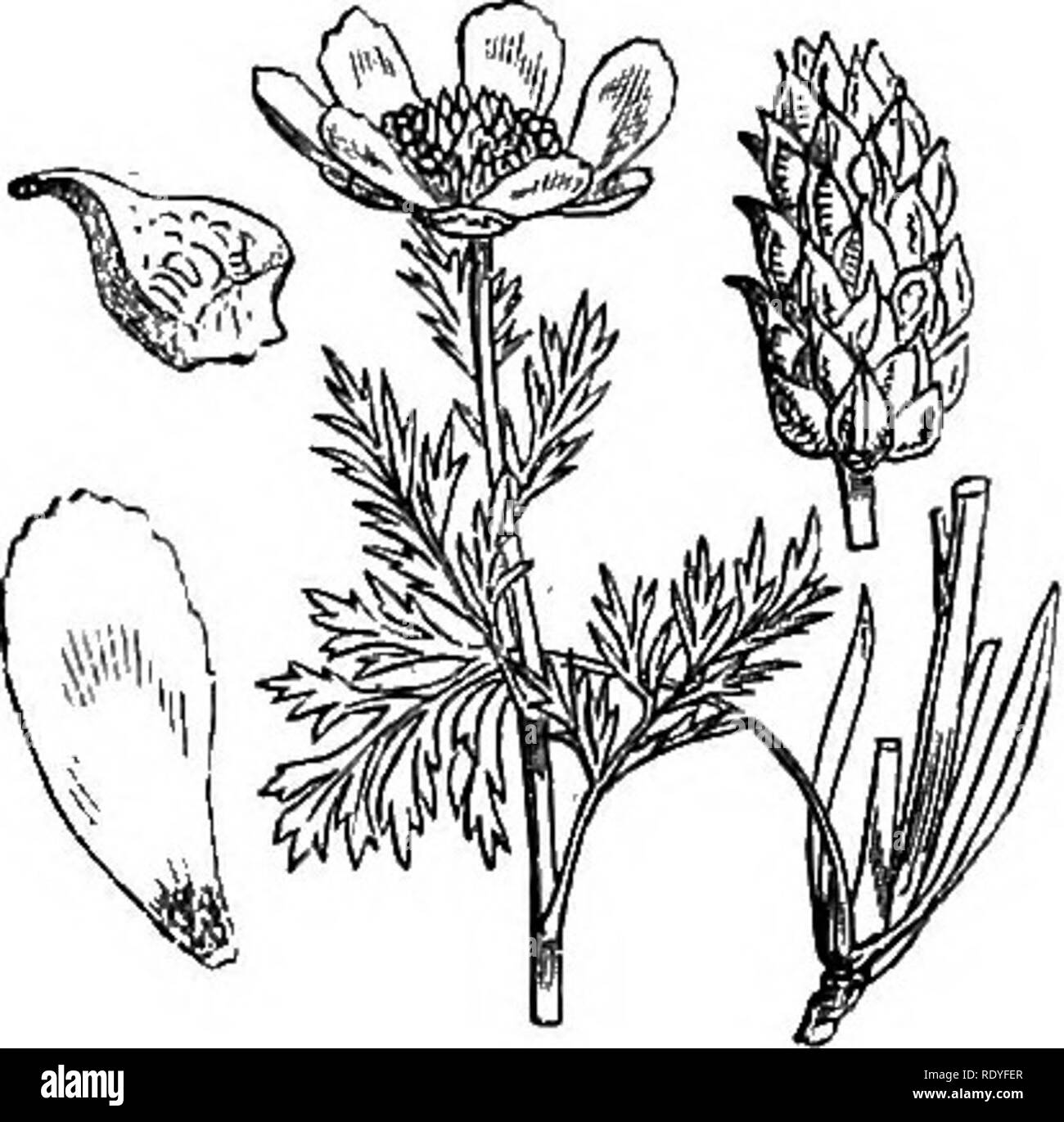 adonis black and white stock photos images alamy Funky Frum illustrations of the british flora a series of wood engravings with dissections