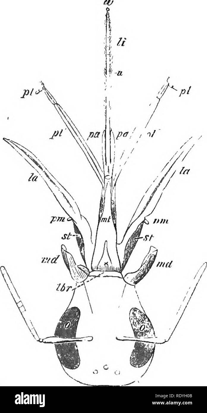 . On British wild flowers considered in relation to insects. Flowers; Fertilization of plants by insects; Plants. i6 MOUTH OF HUMBLE-BEE. [chap. Panurgus (Fig. 17), Halictoides (Fig. 18), and Chelos- toma (Fig. 19), we see various stages in the elon- gation of the lower lip, until at length it reaches the remarkable and extreme form which it now presents in the hive and humble bees (Fig. 20), and. Fig 20.—Head of Humble-bee {Bombus agrorum), with the mouth-parts extended. fia, paraglo-ssEC ; It, ligula ; pi, labial palpi ; pm, maxillary palpi; la, lamina of ditto: J'tij menrum ; st, stipes ; v - Stock Image