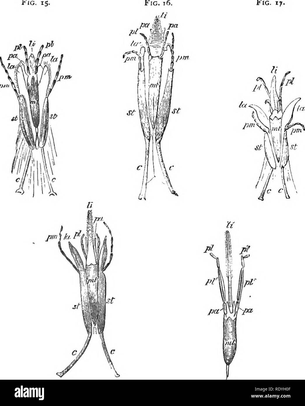 . On British wild flowers considered in relation to insects. Flowers; Fertilization of plants by insects; Plants. I-] MOUTH OF SOLITARY BEES. IS though the bees belonging to this genus feed their young on honey and pollen, they can only get the Fig. is. Fig. 17.. Fig. i3. Fig. 19. Fio. 15.—Mouth-parts of Andrena, seen from below—pci^ paraglossx ; //, ligula; pL labial palpi : pm, maxillary palpi; mt, mentum ; st, stipes; c, cardn ; 0, eye. Fig. 16.—Of Halictus. Fig. 17.—Of Panurgus. Fig. 18.—Of Halictoides. Fio. ig.—Of Chelostoma. former from those flowers in which it is on the surface. In And - Stock Image