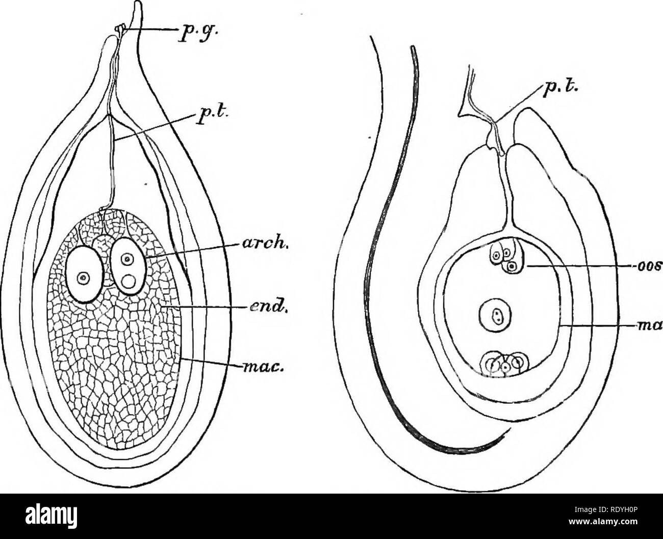 . An introduction to vegetable physiology. Plant physiology. 432 VEGETABLE PHYSIOLOGY structure known as the seed. It becomes detached from the parent sporophyte and disseminated in various ways. In the Angiosperms the formation of the seed is in the main similar to the process described, but it has certain peculiar features. The embryo-sac or megaspore has the same structure as in the Gymnosperms and remains enclosed in the sporangium or ovule. The development of the prothallium is different. The megaspore has a single nucleus as in other cases. When germination begins. Fig. 178.—Ovule of Pin - Stock Image
