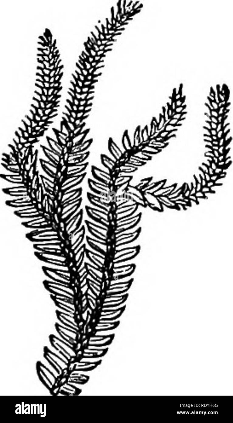 . Ferns: British & foreign. The history, organography, classification, and enumeration of the species of garden ferns with a treatise on their cultivation, etc. etc. Ferns. AN ENUMERATION OF CULTIVATED 1EENS. 277 7. L. fastigiatum, B. Br.—New Zealand. 8. L. complanatum, Linn. (Plum. Fil. t. 165, /. B); Schh. Fil. 1.163.—Temperate Zone of the Northern Hemi« sphere. 9. L. dendroideum, Miclix.; Willd. Sp. PI. 5, p. 21.—North America. 10. L. cernuum, IArm. (Bheed. Mai. t. 2, t. 39); Burm. Fl. Zey. t. 66 (Plum. Fil. t.155, /, A).—Tropics; very general. *** Stems pendulous. (Epiphytal.) 11. L. P - Stock Image