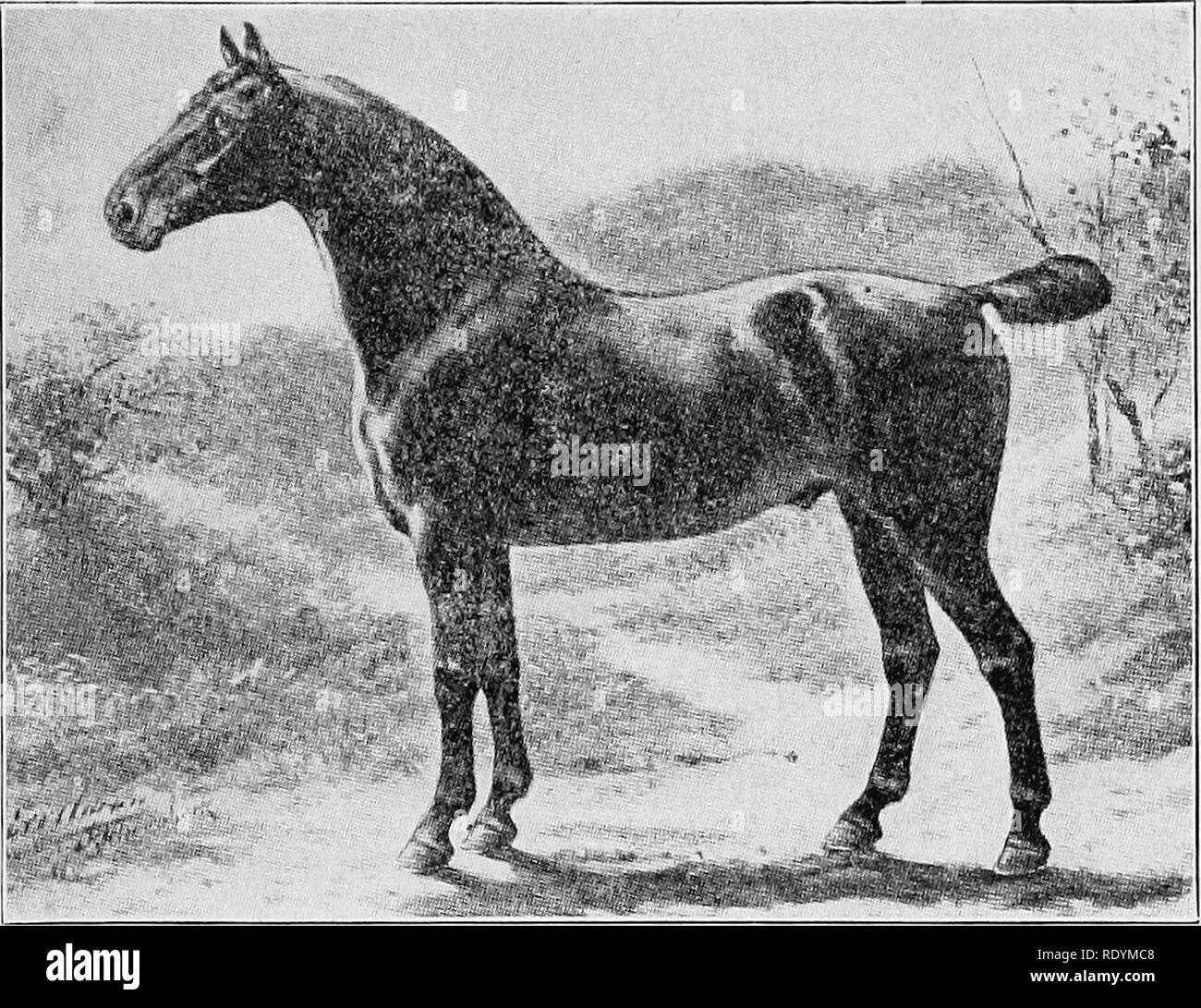 . Elements of hippology. Horses. ELEMENTS OF HIPPOLOOY. 213. A Study in Confoemation. Courtesy of Otto Eerelman. It is a surprising fact that most purchasers want to buy a fat horse. This is a failing that, to be successful, dealers must meet by fattening their horses into what is called selling condi- tion. Horses in this fat, smooth condition cannot be put to hard^worls at once; they are more subject to inflammatory dis- eases than when properly hardened to their work, and, more than all, the fat covers up defects of conformation that would be apparent in working condition. It is always best - Stock Image