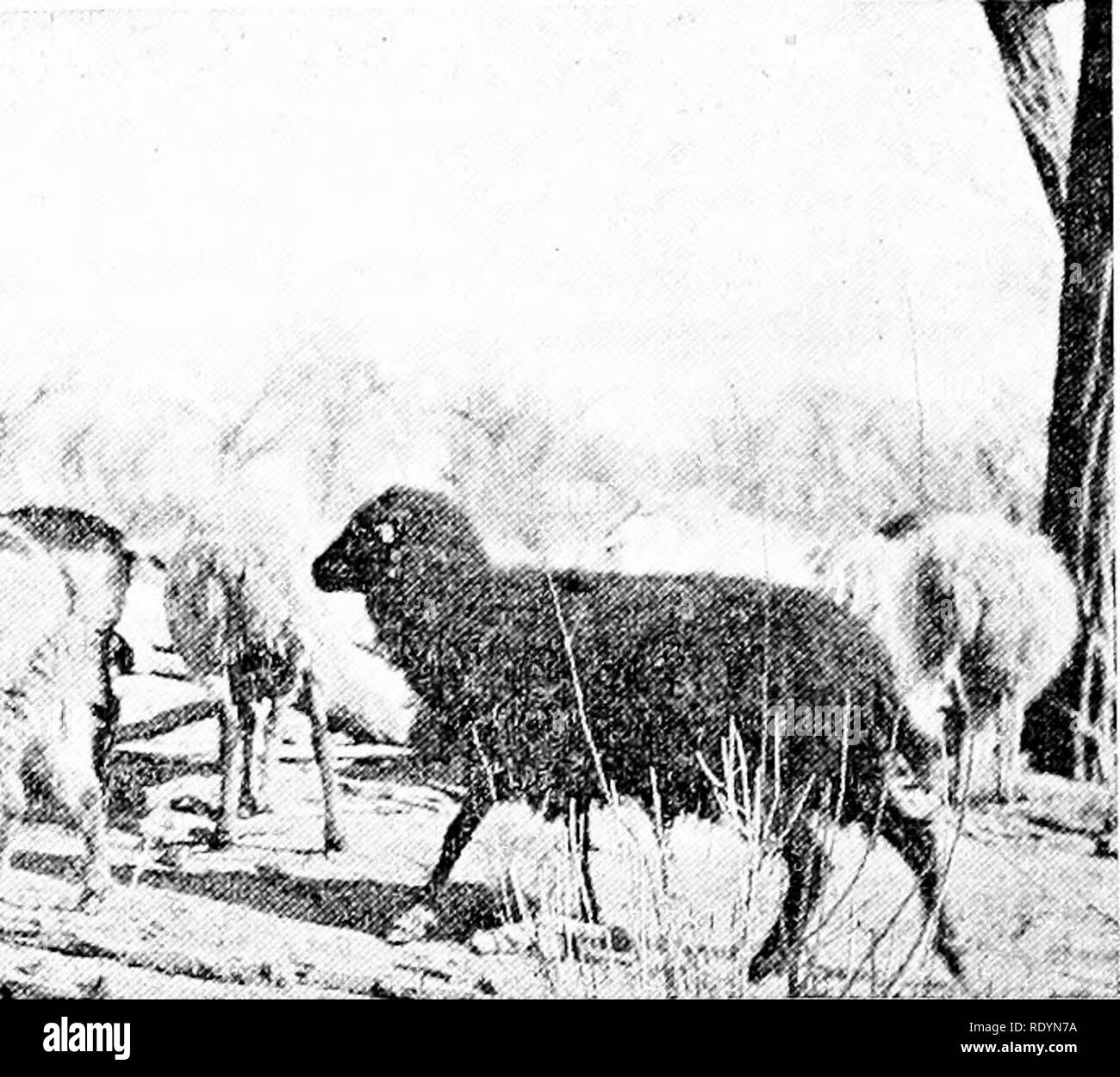 . Productive sheep husbandry . Sheep. Fig. 13 —Sheep and goats belonging to the Navajo Indians The sheep are ill-shaped and not uniform in color, it and it still receives attention in leading sheep countries such as Australia, New Zealand, South Africa, North America, and South America. Color of Wool.—In improving wool, color has received careful attention. Variety of color was perhaps regarded favorably in early times, but when various dye stuffs came to be used, white wool was preferred, because none but a black dye can be used on wool which is black, brown, or gray. It may be that white she - Stock Image
