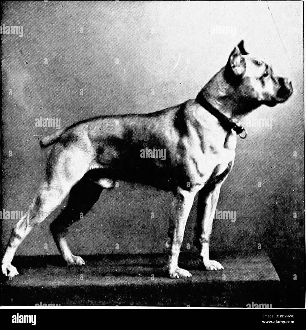 Brindle Black And White Stock Photos Images Alamy