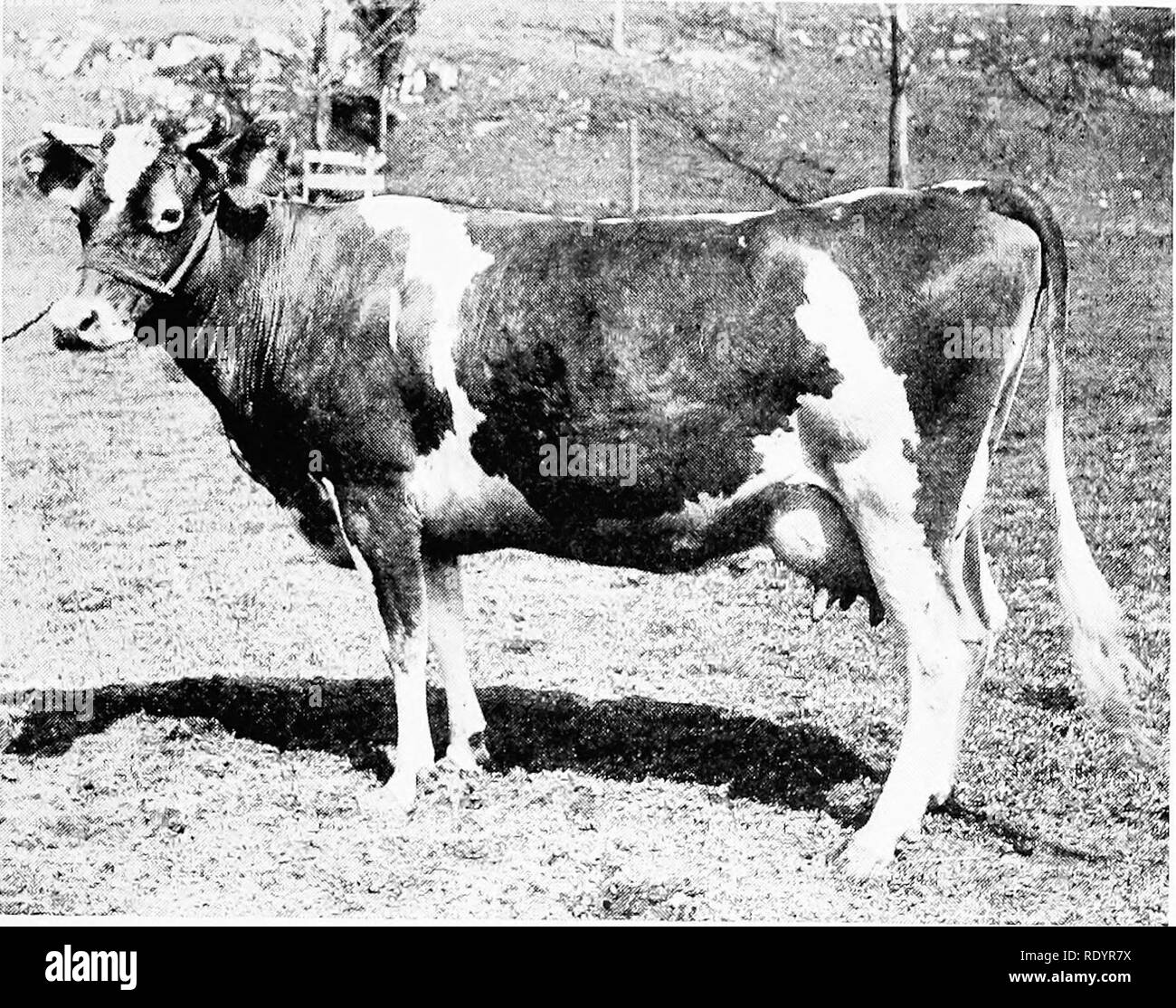 . The Guernsey breed. Guernsey cattle. The Guernsey Breed 317. Imp. Lady Blanche 11 of the Ilougues ilagues 33062. Imp. Masher's Sequel 11.462, A, R. sire of Imp. Lady Archer XII 17559, A, R. 473, E 408.69 dam of Sir Masher 11082, A. R. sire of Sunnyside Marie 42697, A. R. 2506, G 429.18 Masher's Florence of Sunnyside 26743, A. R. 2651, C 434.09 Sir Masher's Josephine of Sunnyside 37560, A. R. 2863, G. 347.83 Archer of Chilmark 13376, A. R. sire of Archer's Golden Lenore 32636, A. R. 2753, F 361.43 Chilmark's Replica 36259, A. R. 3083, G 425.72 Archer's Queen of Chilmark 32629, A. R. 3015, E 3 Stock Photo