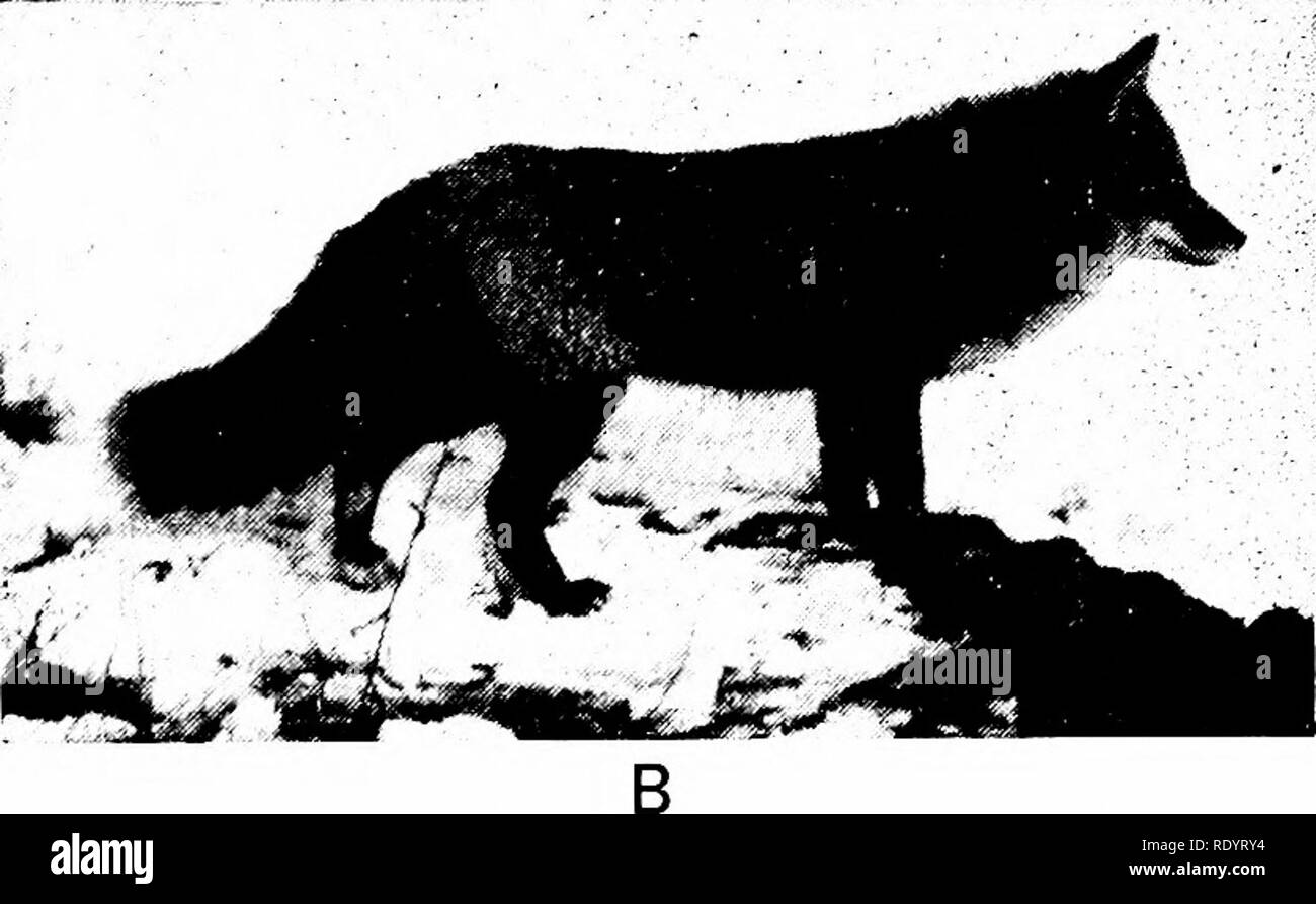 . Principles of modern biology. Biology. A. Fig. 26-28. The silver fox (A), which has a highly valued pelt, arose by mutation from the wild-type red fox (B). (A, courtesy of the U.S. Department of Agri- culture and the American Museum of Natural History, New York. B, courtesy of the American Museum of Natural History, New York.) A mutation gives rise to a new gene that usurps the locus of the old. Consequently the mutant gene becomes allelic to the normal gene from which it has arisen. In diploid cells, only one gene of any allelic pair has been known to mutate at a given time, and the mutant  - Stock Image