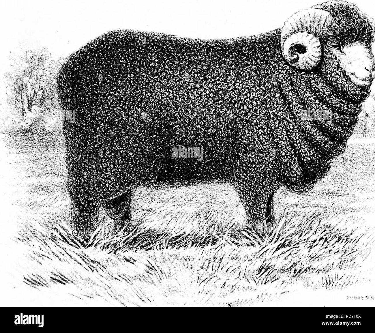 Merino Ram Black and White Stock Photos & Images - Alamy