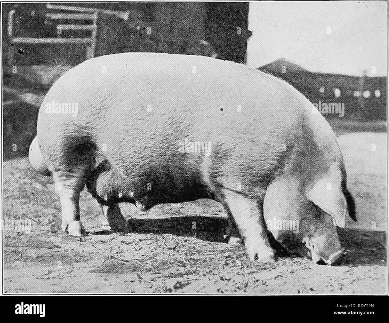 Feeding Pigs Black and White Stock Photos & Images - Alamy