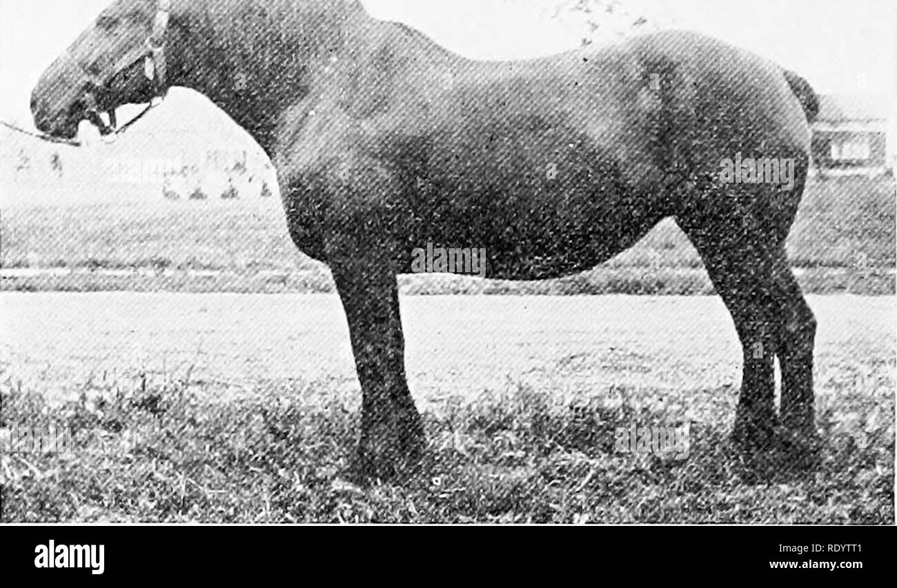 """. Livestock on the farm. Livestock. 126 LIVESTOCK ON THE FARM W"""". Fig. 15.—Perchcron mare, working condition.. Please note that these images are extracted from scanned page images that may have been digitally enhanced for readability - coloration and appearance of these illustrations may not perfectly resemble the original work.. Dietrich, William, 1871-. Philadelphia and London, W. B. Saunders Company - Stock Image"""