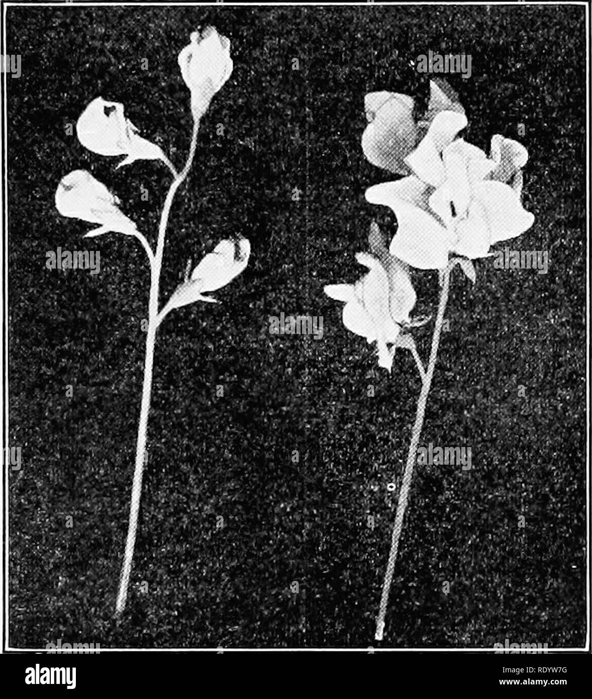 . Genetics in relation to agriculture. Livestock; Heredity; Variation (Biology); Plant breeding. ON VARIETIES IN PLANTS 307 sitions in their day and were doubtless considerably larger than the oldest varieties. The first definite reference to size is found in New Large Purple, listed in 1845. As this occurs in the darkest color group and 15 years before the hj^brid origin of a new variety, Blue Edged, was even suggested, it probably represents a factor mutation. That such mutations actually occurred in the sweet pea is proved by the fact that Countess Spencer and Gladys Unwin were both decided - Stock Image