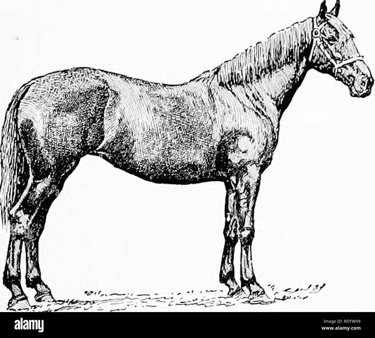 """. The breeds of live-stock : by live-stock breeders . Livestock. Fig. 12. - Cleveland Bay stallion. action is not specially high, but it is the kind for getting; over the ground. In color he is bay — either light or dark — with black legs clear of hair; and black, zebra-like stripes on the arm and above the hocks are sometimes seen. These are known as the black points and are supposed to de- note special purity of breeding. White, save a small star or a few white hairs in the heel, is not admissible, a blaze or white foot proclaiming at once the admixture of foreign blood """" ' (Figs. 12, 1 Stock Photo"""