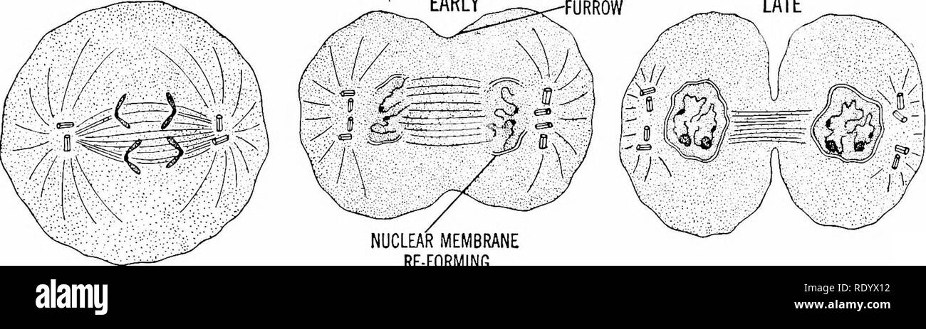 . Principles of modern biology. Biology. CENTRIOLES ASTER- PROPHASES METAPHASES EARLY LATE. NUCLEAR MEMBRANE RE-FORMING ANAPHASE TELOPHASES Fig. 3-2. Diagram depicting modern concept of mitosis as observed in a typical animal cell system of protoplasmic fibers, collectively called the spindle. The mitotic centers are regarded as specialized parts of the cyto- plasm, situated at the ends, or poles, of the spindle, although these regions sometimes are not very clearly delineated, especially in plant cells. The fibers toward each end of the spindle always converge, however, toward a definitely lo - Stock Image