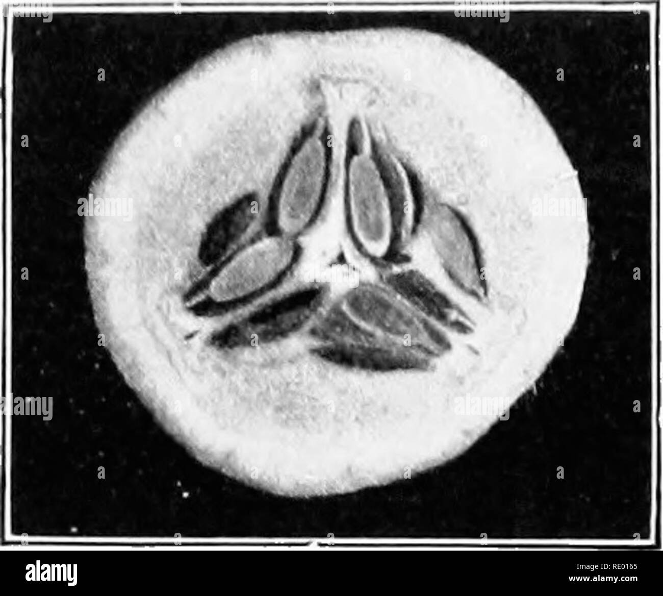 . Essentials of biology presented in problems. Biology. FRUITS AND THEIR USES 63. Cross section of a cucumber, a pcpo. Note the number of locules or spaces in the ovary. How and where are the seeds attached ? Garden Fruits.—p Groon plants and especially vegetables have I'dine to jilay an important part in tho dietary of man. The dis- eases known as scury and beri-beri, the latter the cnrse of the far Eastern navies, ha%e been largely prevented by adding vegetables and fruit juices to the dietary of the sailors. People in this country are beginning to find that more vegetables and less meat ar - Stock Image