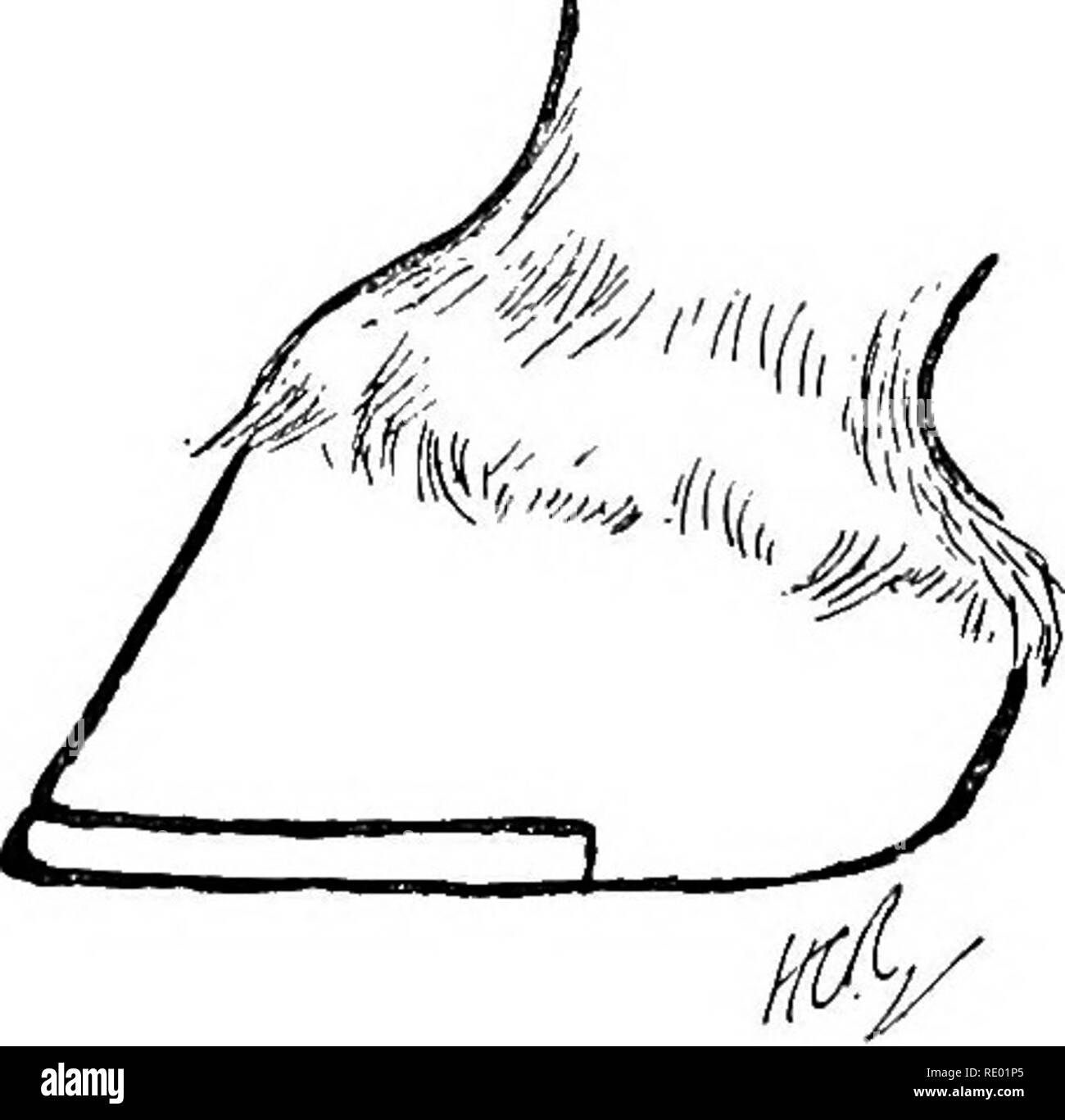 . Diseases of the horse's foot . Hoofs; Horses. 126 DISEASES OP THE HOESE'S FOOT shoe, the appHcation of a tip is simple. In reahty, the tip is just an ordinary shoe shortened by truncating the heels. Before applying the tip, the horn of the wall at the toe should be shortened sufficiently to prevent any undue obliquity of the hoof, and the foot should be so prepared as to allow the heels of the tip to sink flush with the bearing edge of the wall behind it. When the foot does not allow of the removal of much horn at the toe, what is termed a ' thinned' tip is to be preferred. Its shape is suff - Stock Image