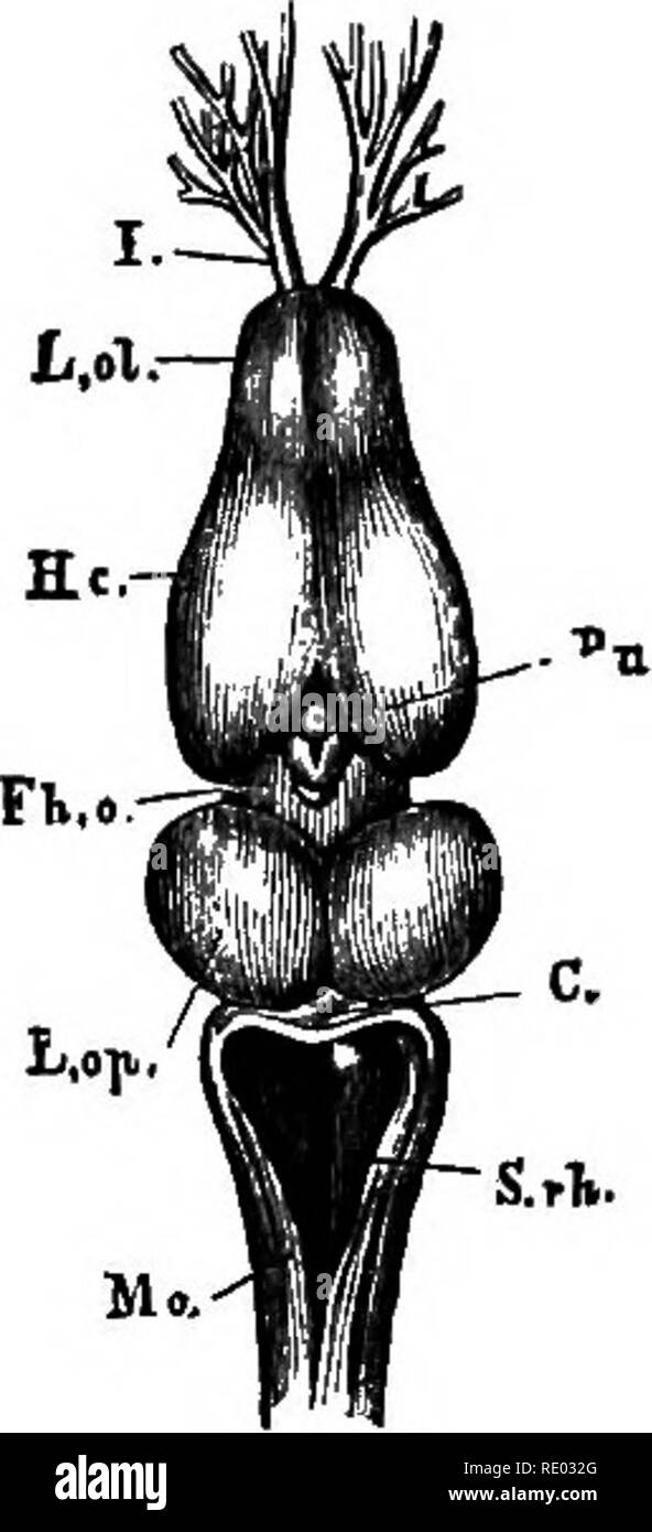 ". A text-book of comparative physiology for students and practitioners of comparative (veterinary) medicine. Physiology, Comparative. Fig. 348. Fig. 343. Fig. 342.—Brain of the pike, viewed from above (Huxley). A^ the olfactory nerves or lobes, and beneath them the optic nerves; B, the cerebral hemispheres; C, the optic lobes; I), the cerebellum. Fig. 343.—The brain of edible frog {Bana esculenta""). 1x4. (After Huxley.) L. ol, the rhinencephalon, or olfactory lobes, with /, the olfactory nerves; Sc, the cere- bral hemispheres; j'A. o, the thalamencephalon with the pineal gland, i^; L.op^  - Stock Image"