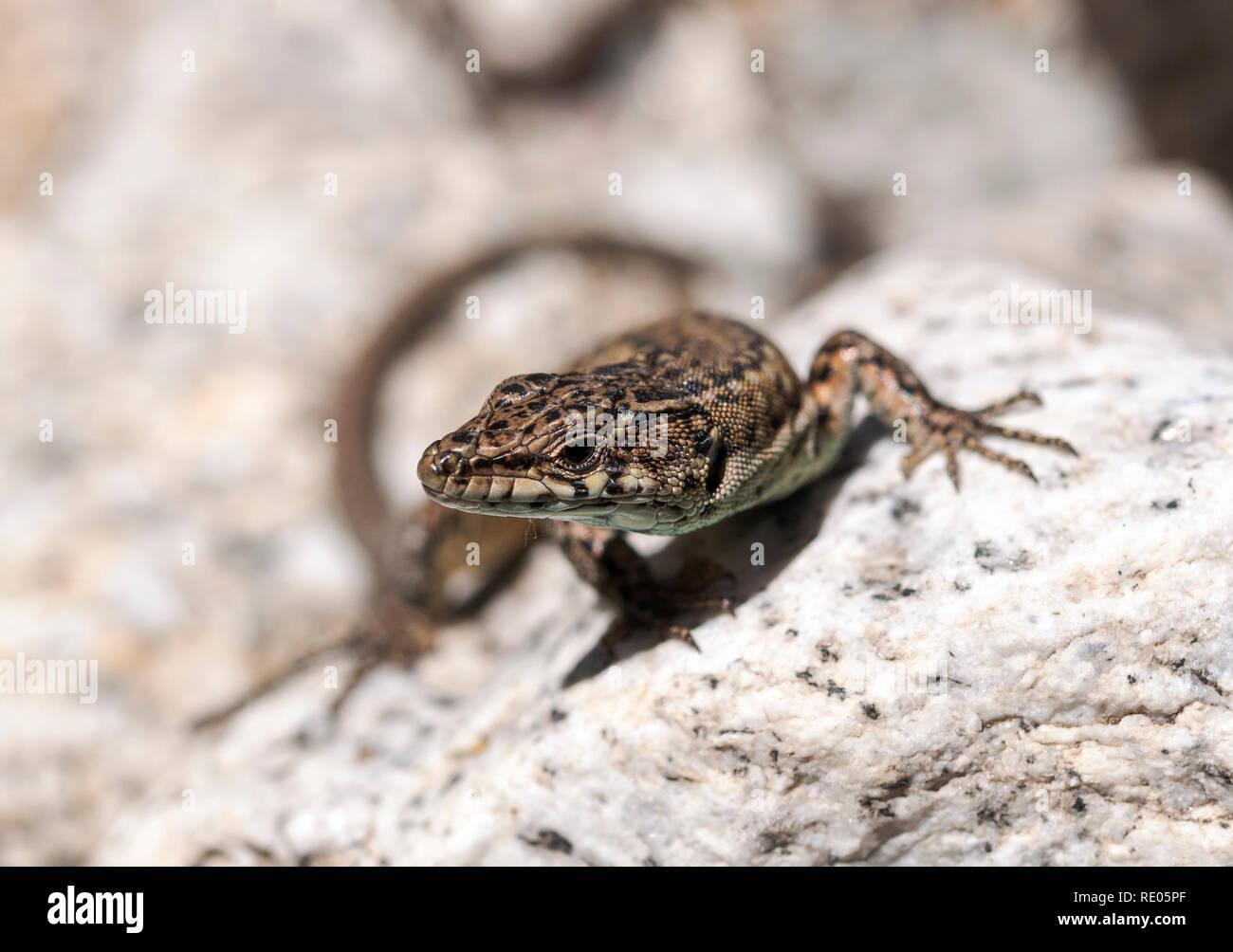 Iberian wall lizard, Podarcis hispanica, on a rock. Photo taken next to the Minchones Stream, in the region of La Vera, Caceres, Extremadura, Spain Stock Photo