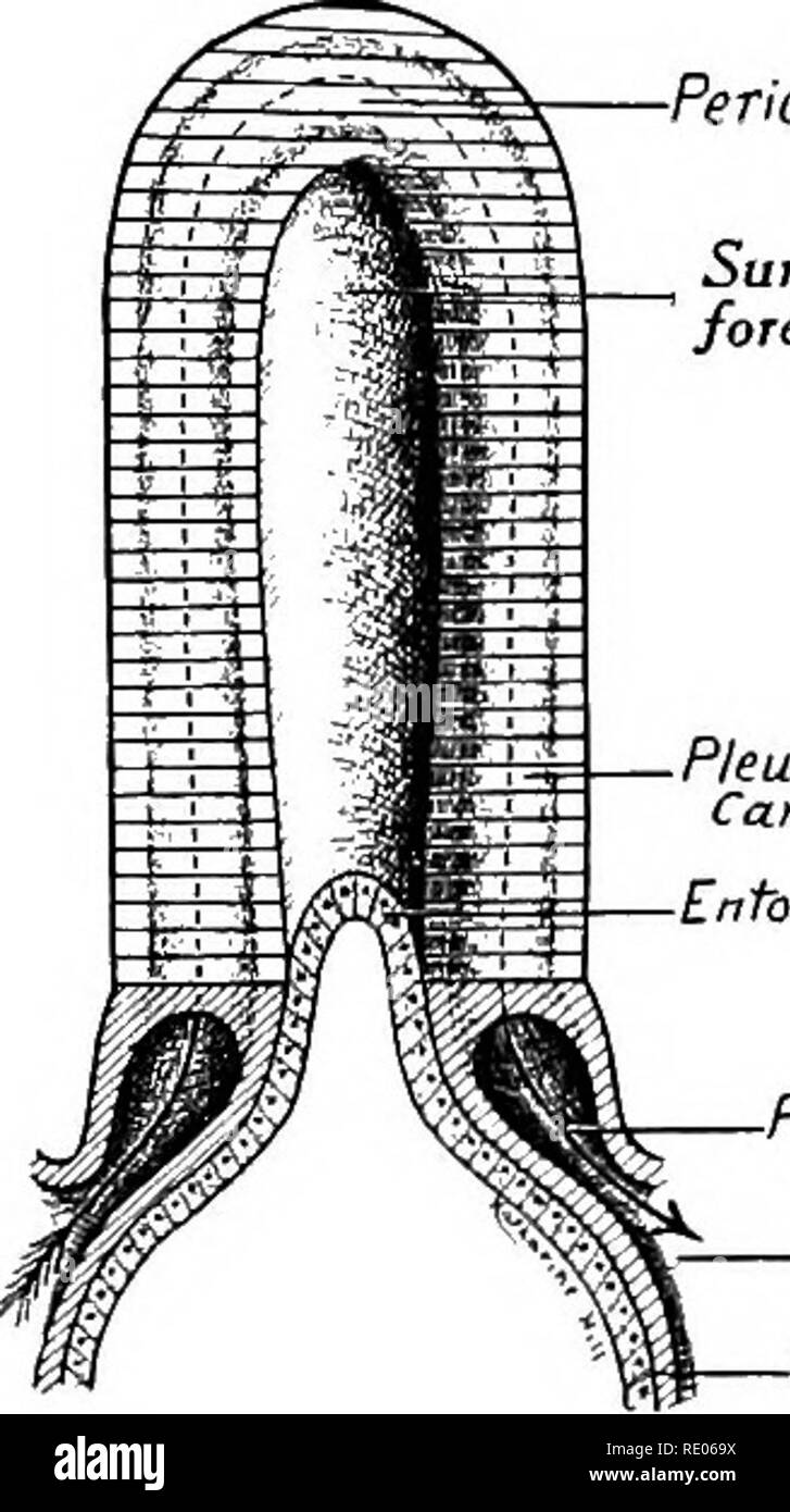 . A laboratory manual and text-book of embryology. Embryology. 188 THE ENTODERMAL CANAL AND ITS DERIVATIVES the dorsal surface of the tail. The alveoli of the gland are developed as darkly staining cellular buds in embryos of 40 to 55 mm. The islands characteristic of the pancreas appear first in the tail at 55 mm. Owing to the shift in the position of the stomach and duodenum during development the pancreas takes up a transverse position, its tail extending to the left. To its ventral sur- face is attached the transverse mesocolon.. Pericardial Cai/ifu Surface of fore-gut Pleuro-pericardia t  Stock Photo