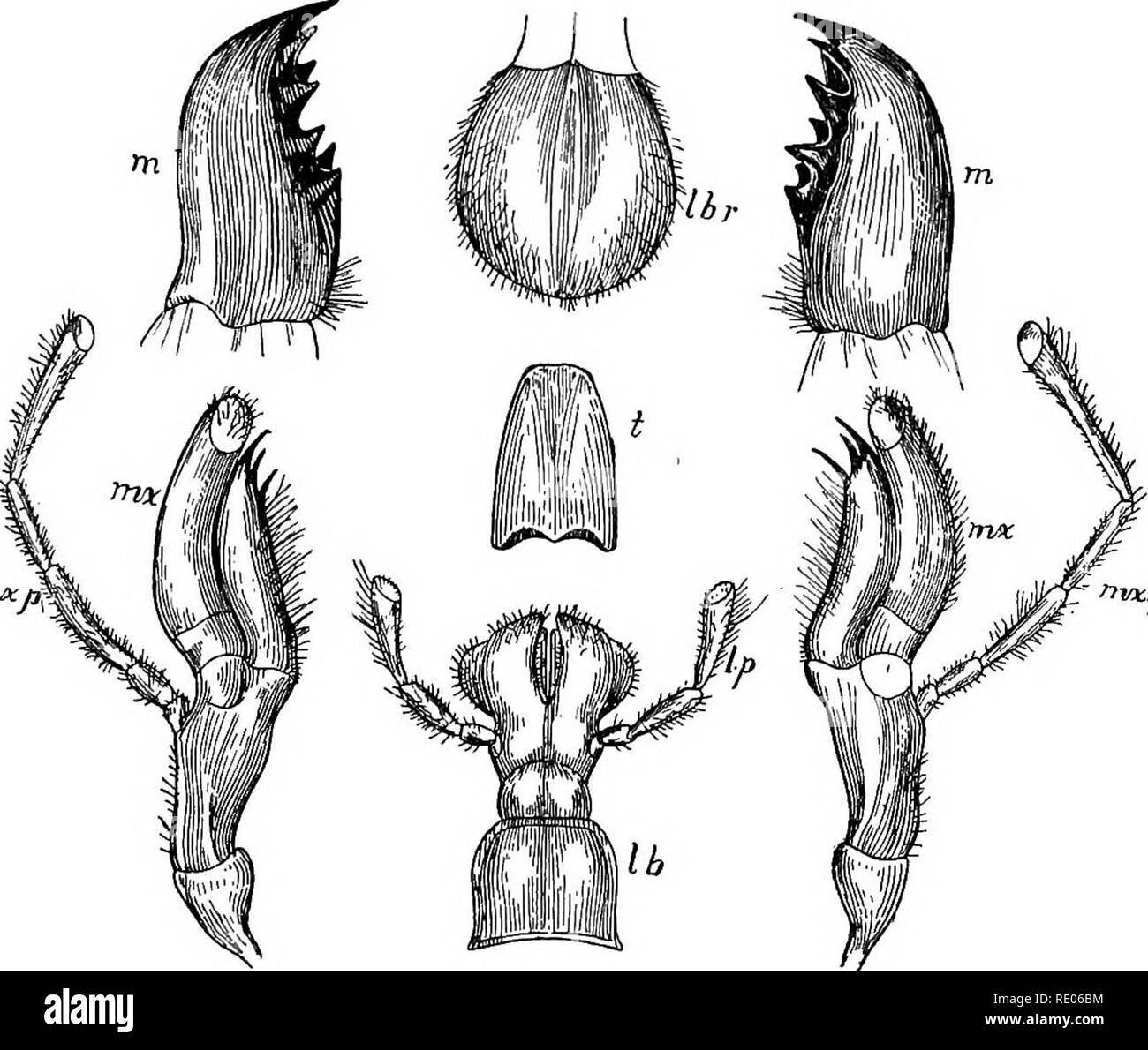 . Outlines of the comparative physiology and morphology of animals. Anatomy, Comparative; Physiology, Comparative. NUTRITION PROPER. 333 divided and masticated by the jaws working toward one another laterally (not vertically, as in vertebrates).. m*fi nvx.p Fig. 213.—The mouth parts of a grasshopper enlarged : Ibr, labrum ; m m, mandibles ; lb, labium ; Ip, labial palpi; /, tongue ; mx mx, maxilla?; mxp mxp, maxillary palpi. Serial Homology of these Parts.—As already said (page 273), the insect head consists of four segments with their paired appendages. The labrum is an exten- sion downward o - Stock Image