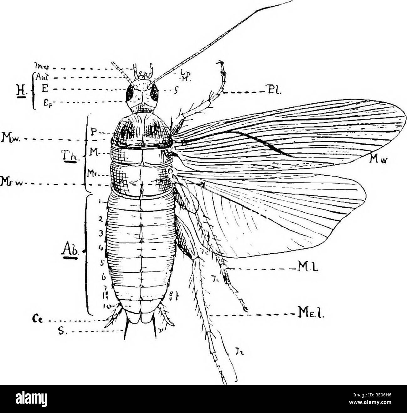 """. A text-book of agricultural zoology. Zoology, Agricultural; Zoology, Economic. 90 ANATOMY OF AN ARTHEOPOD. 32 A, c), a broad plate, which is followed by a smaller plate united to the front of the clypeus, called the labrum or """"upper lip"""" (L). The plate on each side below and behind the eyes is called the gena or cheek ((?). Ocelli are absent in this type, other- wise they would be situated on the epicranium. The thorax. Fig. 31.—Structuric of an Akthropod (Periplancta ajnericana). B, head; Th, thorax; Ah, abdomen; Mxp, maxillary palps; Lp, labial palps; JIf, maxiUee; Ant, antennae  - Stock Image"""