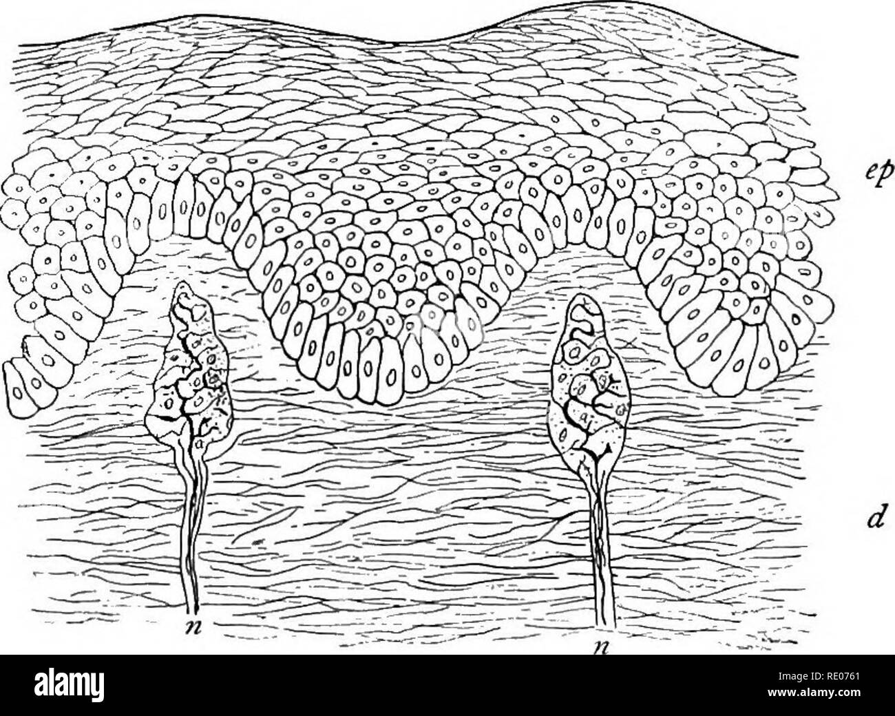 Skin Cells Black and White Stock Photos & Images - Alamy