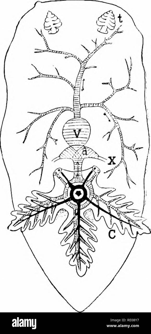 ". A manual of zoology. Zoology. Fig. 308. Fig. 389. Fig. 368.—I, streptoneurous nervous sy.stem of Paludimi. (After Hering, from Gegenbaur.) JI, orthoneurous system of Limncen. (After Lacaze-DUthiers.) A, visceral; B, buccal; i"", cerebral; p, pedal; PI, pleural; sb, .s^j, sub- and supra- intestinal ganglia; n, olfactory nerve; "", otocy.st. Fig. 3(i9.—Diagram of circulation in Dorix. (After Leuckart.) «, auricle; c, gills around anus; t, tentacle; v, ventricle; x, vessels returning venous blood from the body. bearing gland cells and concretions; its duct either empties into the mantle - Stock Image"