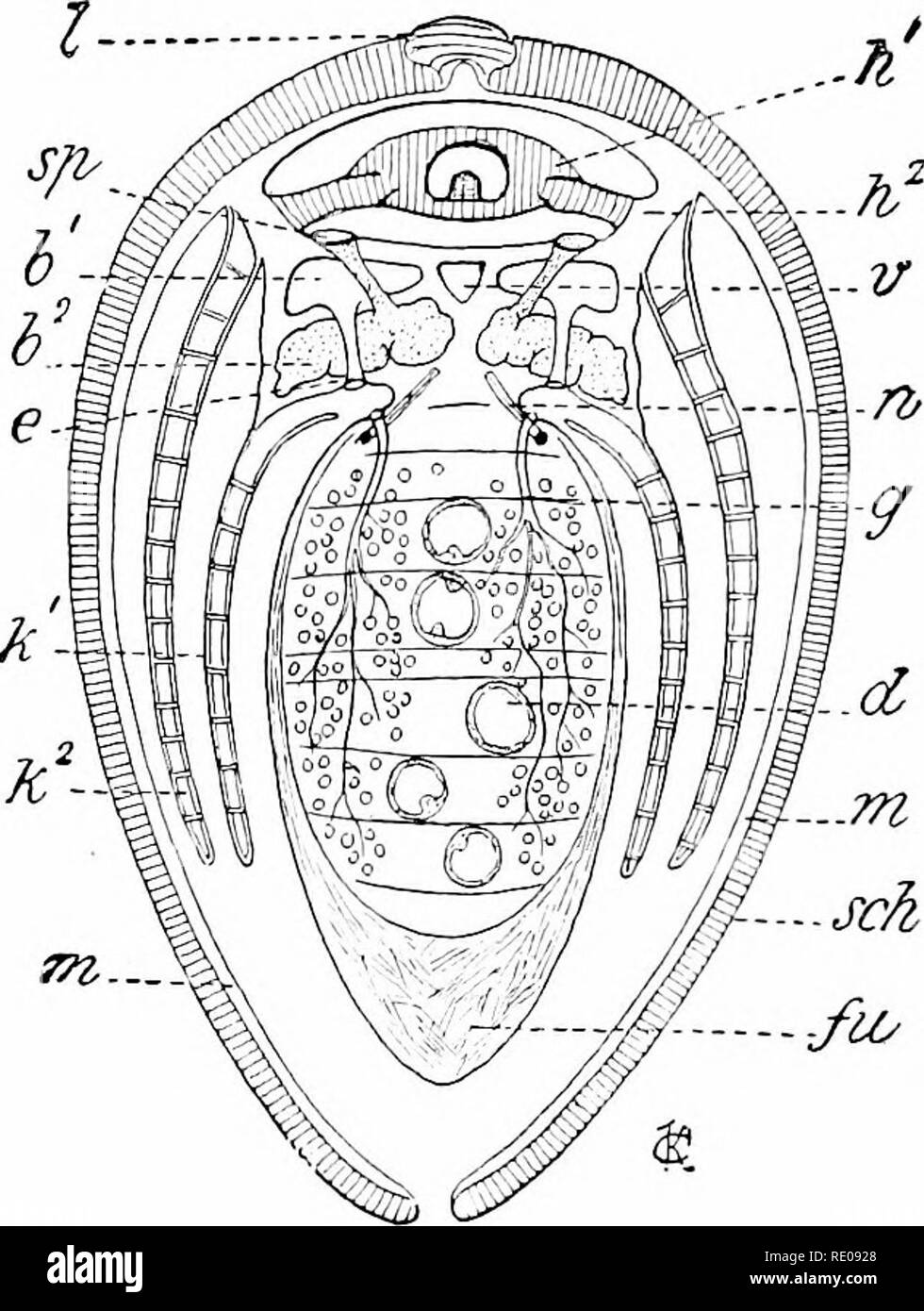 . A manual of zoology. Zoology. 3r,y MOLLUSC A. chamber and the larger lower respiratory cavity. Into the cloaca empty tlie anus and the water which has passed over the gills; it opens to the exterior through the excurrent siphon. The inciirrent siphon leads into the branchial chamber. In front of the gills are two more pairs of leaf-like lobes, the labial palpi, between which is the mouth. The gills are variouslj' developed. The Nuculidfe—the most primitive of living Acephala—have true ctenidia consisting of an axis grown to the body and an inner and an outer row of gill leaves (fig. 355). Fr - Stock Image