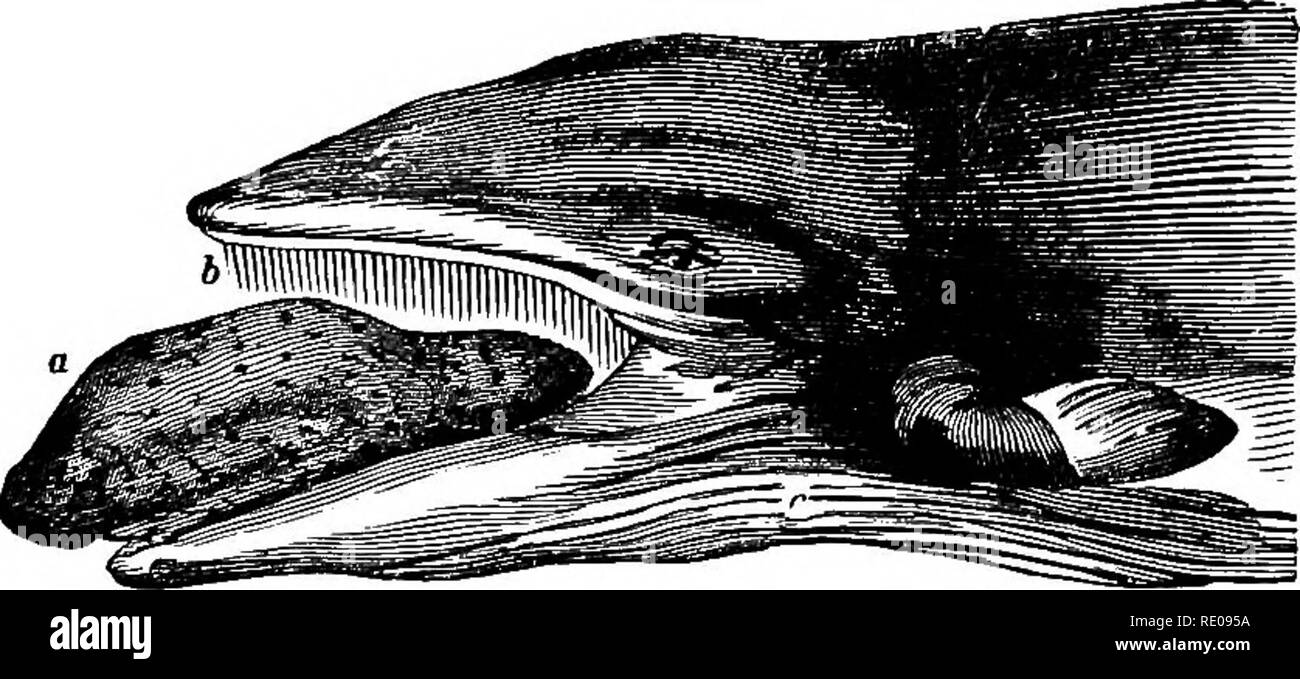 Zoology For High Schools And Colleges Zoology The Apekm Whalk 593 The Iaclielot Or Sperm Whale