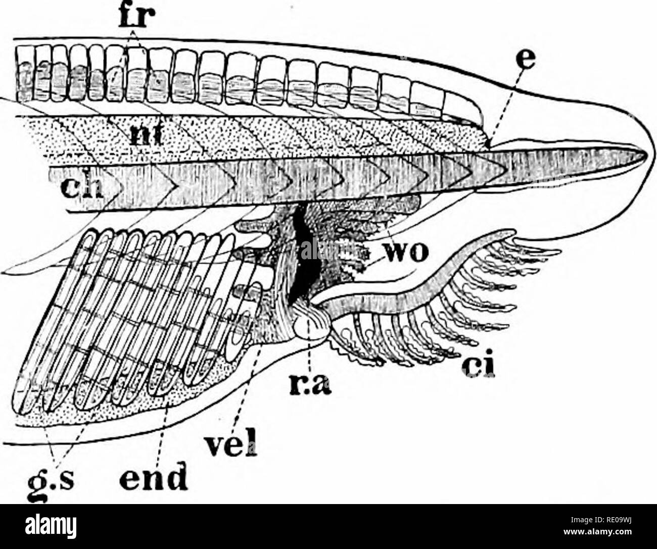 . Amphioxus and the ancestry of the vertebrates. Amphioxus; Sea squirts; Hemichordata. i8 ANATOMY OF AMPHIOXUS. the buccal cartilages. As pointed out by Johannes Miiller, they are not to be compared with the jaw-apparatus, nor to the hyoid or tongue- bone of the jaw-bearing Vertebrates, but they belong to the same cate- gory as the mouth-carti- lages of the Cyclostome fishes (which possess a hyoid cartilage in addi- tion) and the labial car- tilages of Selachians (sharks). The absence of paired. auditory organ has been Fig. 3. — Anterior portion of body of young transparent individual. (After  - Stock Image