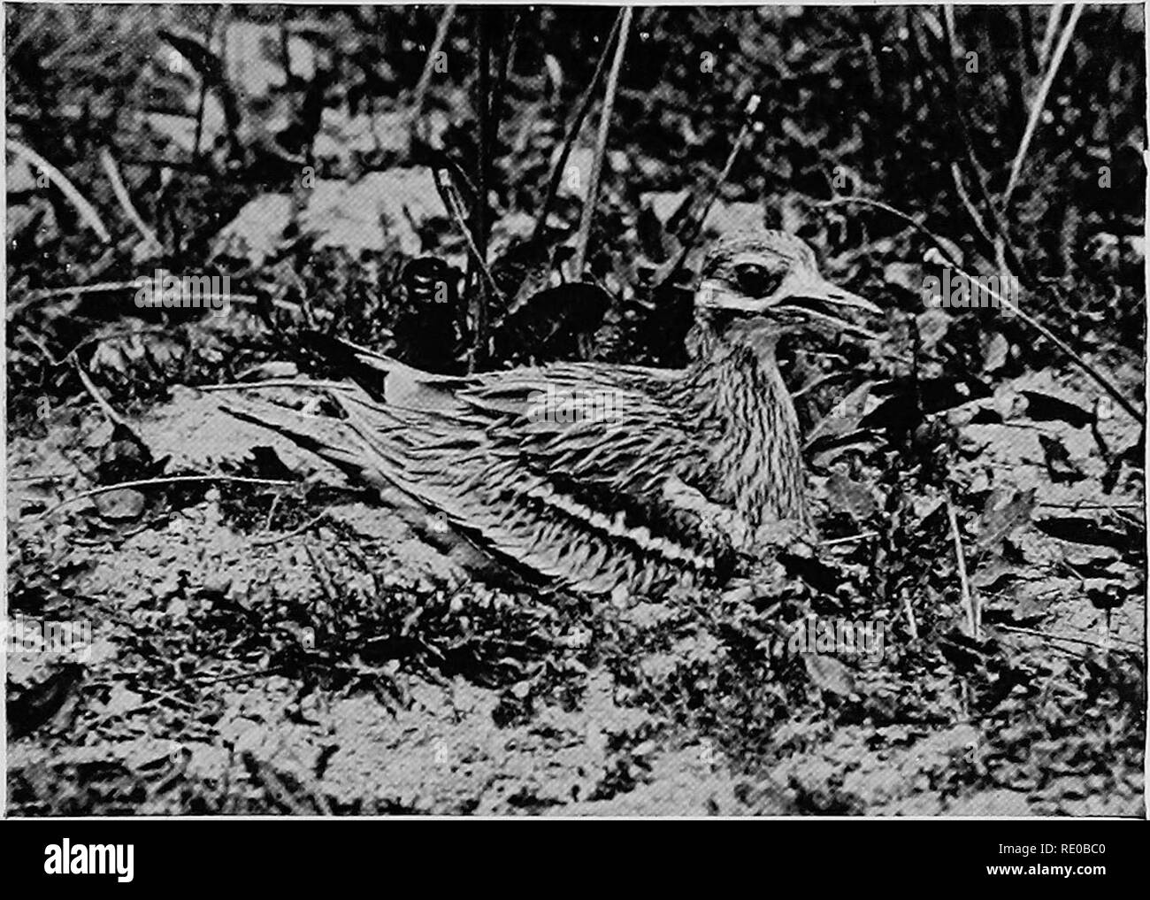 . The infancy of animals. Animal behavior; Natural history. STONE CURLEW BROODING, DISTRESSED BY HEAT. That brooding birds are greatly distressed by long exposure to the sun has only recently been discovered. The open mouth and uplifted feathers are sure signs of this.. Please note that these images are extracted from scanned page images that may have been digitally enhanced for readability - coloration and appearance of these illustrations may not perfectly resemble the original work.. Pycraft, W. P. , (William Plane), b. 1868. London, Hutchinson & Co. - Stock Image