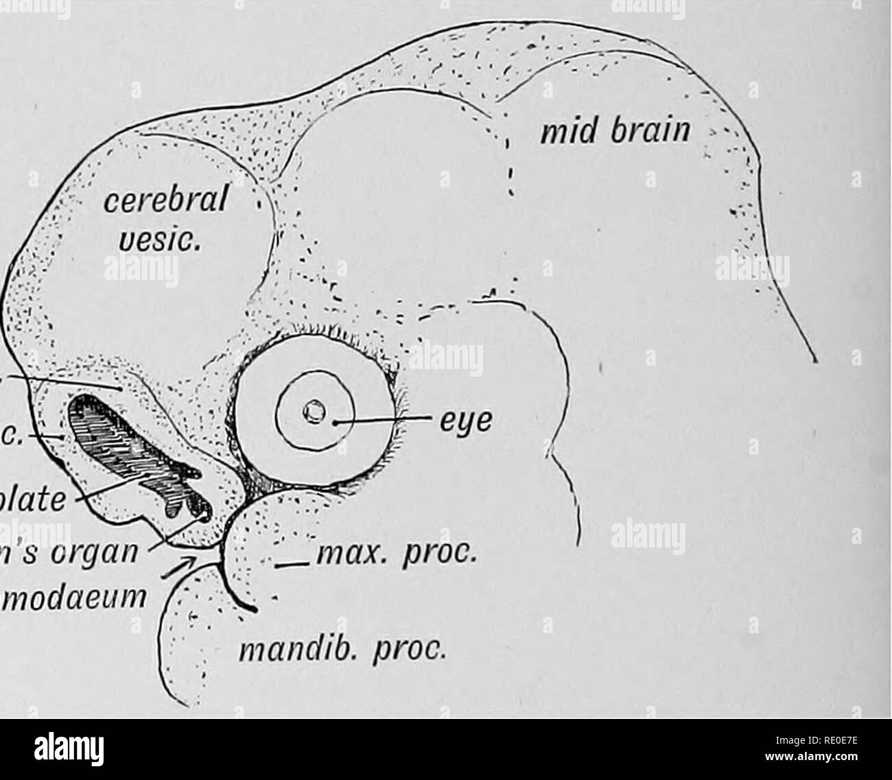 Parts Of The Brain Black and White Stock Photos & Images - Alamy