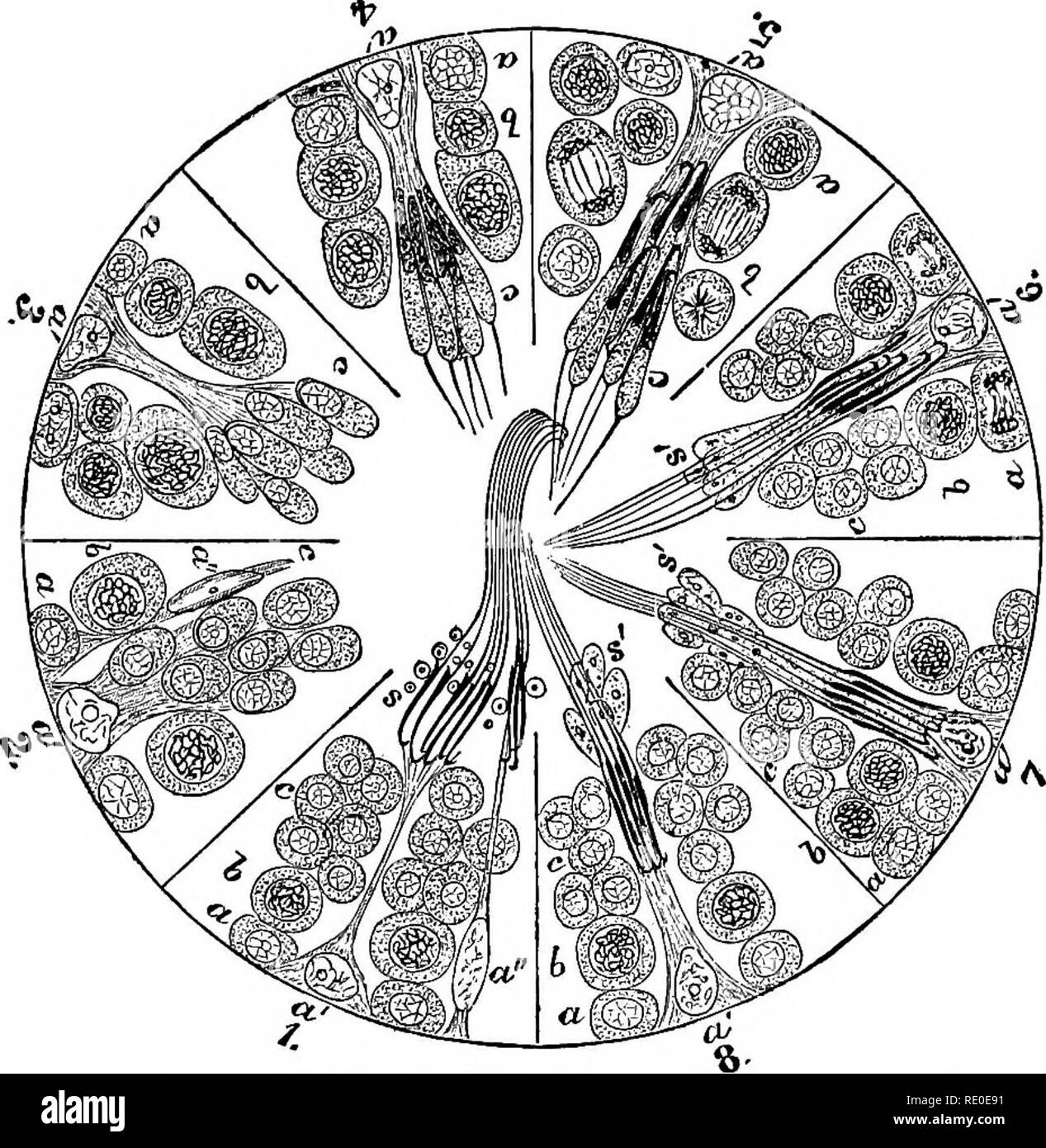 . A laboratory manual and text-book of embryology. Embryology. MATURATION 25. Fig. 9.—Diagram showing cycle of phases in the spermatogenesis of the rat (Schafer, Brown). The numbered segments of the circle represent portions of different seminiferous tubules, a, spermato- gonia; a', sustentacular cells; b, spermatocytes actively dividing in 5; c, spermatids forming an irregular clump in 1, 6, 7 and 8 and connected to sustentacular cell a' in 2, 3, 4 and 5. In 6, 7 and 8 advanced spermatozoa of one generation are seen between spermatids of the next generation, s', parts of sperma- tids which di - Stock Image