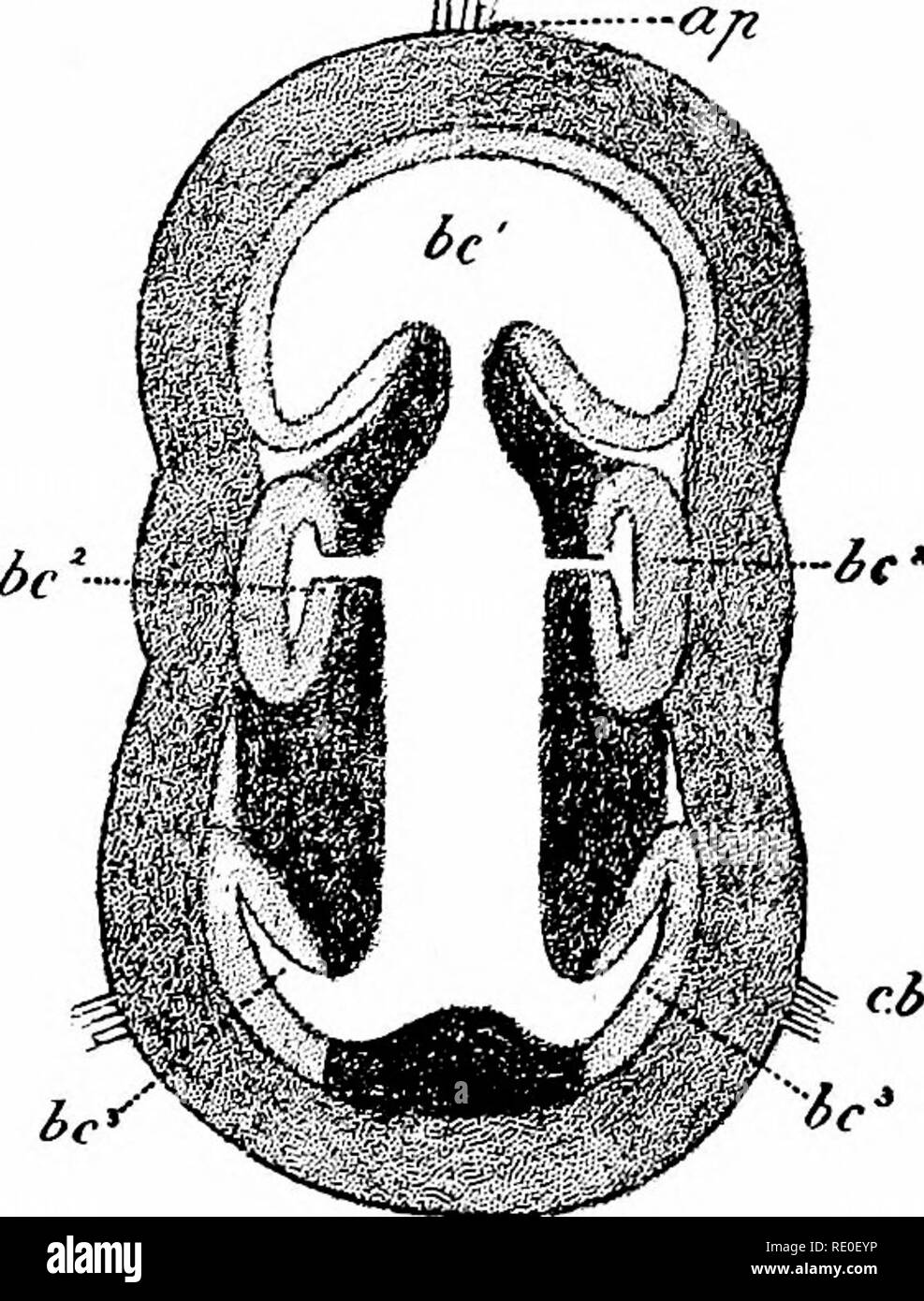 hemichordata balanoglossus