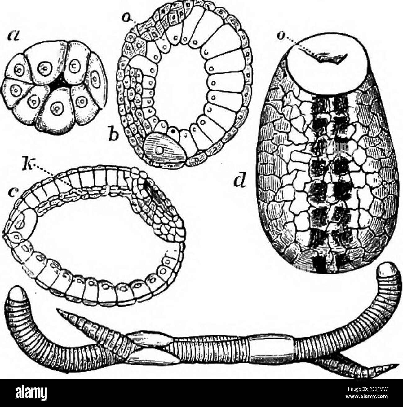 . Zoology for high schools and colleges. Zoology. 210 ZOOLOGY. etc., as well as oyer the ground, by minvite, short, curved setse or bristles, which are deeply inserted in the muscular walls of the body, and arranged in four rows along each side of the body. The alimentary canal is straight, the stomach has three 2:)airs of ^mall lateral blind sacs (coeca), and the intestine, which is externally tubular, contains a thick inter- nal sac-like fold called a typMosole. The segmental organs are highly convoluted tubes, a pair to each segment of the body, except a few near the head, and opening inter - Stock Image