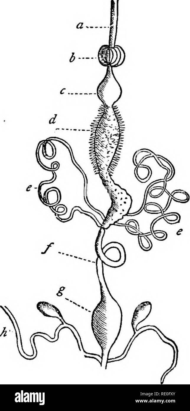 """. Text-book of zoology for schools and colleges. Zoology. 148 INVERTEBKATE ANIMALS. or """" mandibles."""" 3. A pair of chewing-jaws or """" maxilla"""" provided with jointed filaments, called the """" maxillary palpi."""" 4. A lower lip or """"labium"""" which also carries a pair of jointed filaments, known as the """" labial palpi."""" In the typical suctorial mouth, as seen in the butterflies and moths, the fol- lowing is the arrangement of parts : The upper lip and man- dibles are quite rudimentary; the maxillae are greatly length- ened, and form a spiral tube fitted fo - Stock Image"""