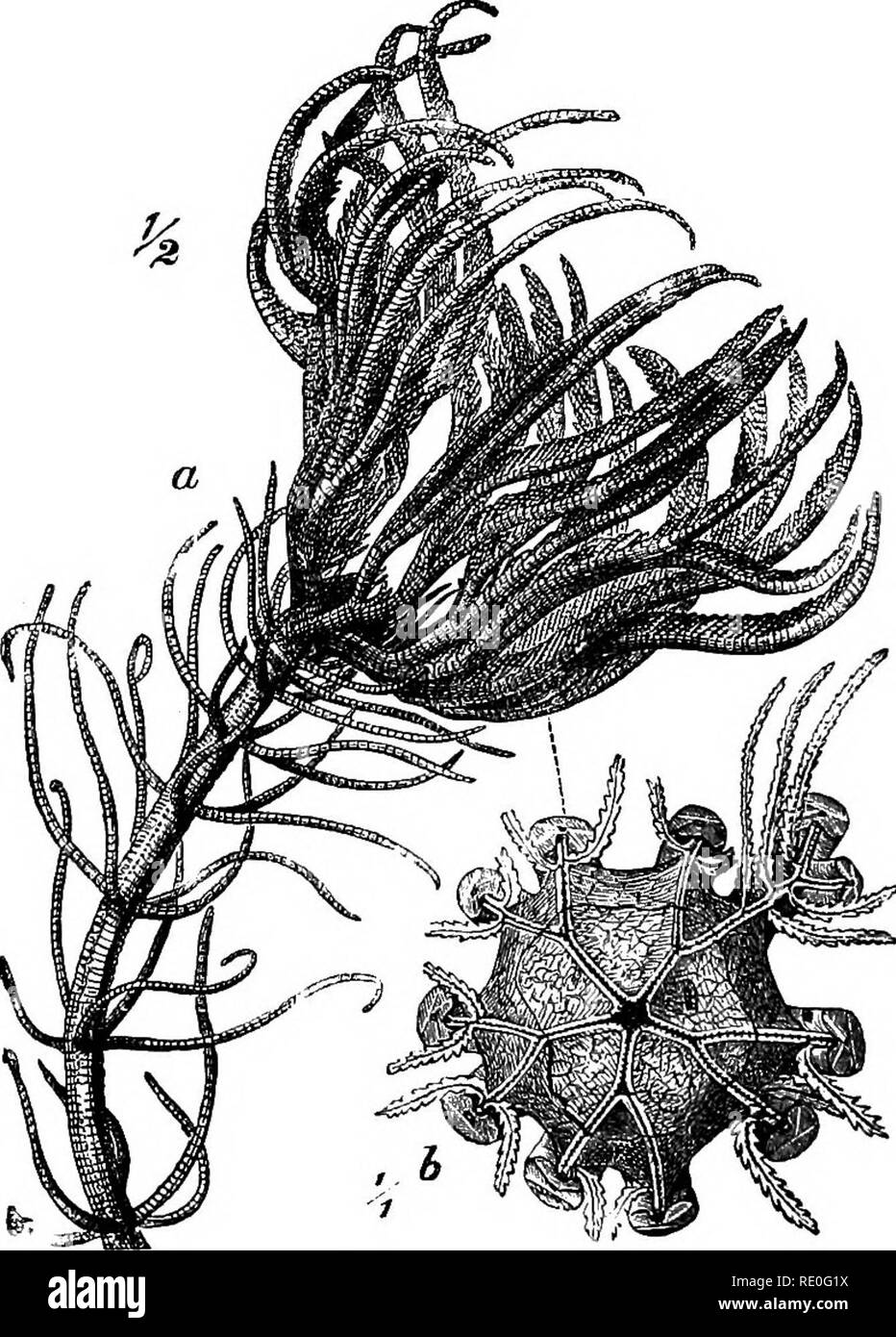 . Zoology for high schools and colleges. Zoology. 103 ZOOLO&Y. to Mhizocrinus, and was dredged in the Bay of Biscay at the depth of 3435 fathoms. B. AldricManus occurred in 1850 fathoms, latitude 1° 47' K, longitude 34° 26' W., off the coast of Brazil. With it and also near the Orozet Islands occurred the interesting Hyocrinus Bethellianus Wyville-Thompson, which bears in some points resemblance to the palasozoic genus, Platycrinus.. Fig. 64.—a, PentacrinuJi caput^medusce, half niitural size; 6, calyx-disk seen from above, natural size.—Prom Brehm's Thlerleben. The most widely distributed  - Stock Image