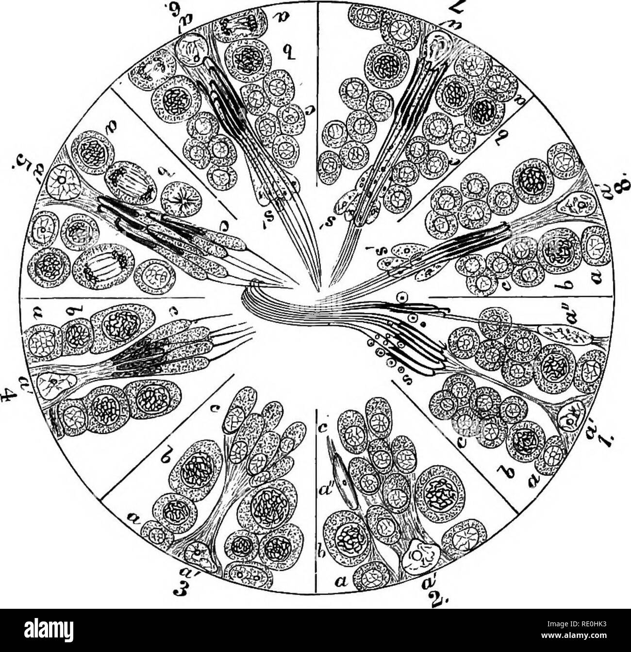 """. The physiology of reproduction. Reproduction. Fig. 43.—A cell of Sertoli with which the spermatids (three of which are shown) are beginning to be connected—human. (After Bramman, from Schafer.) The cell contains globules of nutritive substance and similar smaller globules are seen in the spermatids.. FiG. 44.—Diagram illustrating the cycle of phases in spermatogenesis. (From Schafer.) a, spermatogonia (seen dividing at 6) ; a', a"""", Sertoli cells; ft, spermatocytes (seen dividing at 5); c, spermatids; s', parts of spermatids which dis- appear when spermatozoa are fully formed; s, seminal - Stock Image"""