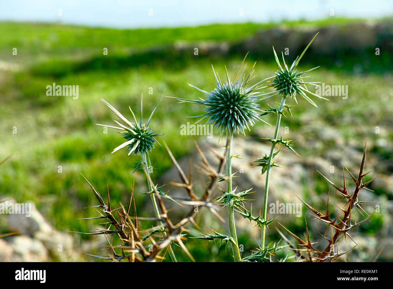 Close-up of  spike plant in the meadow - Stock Image