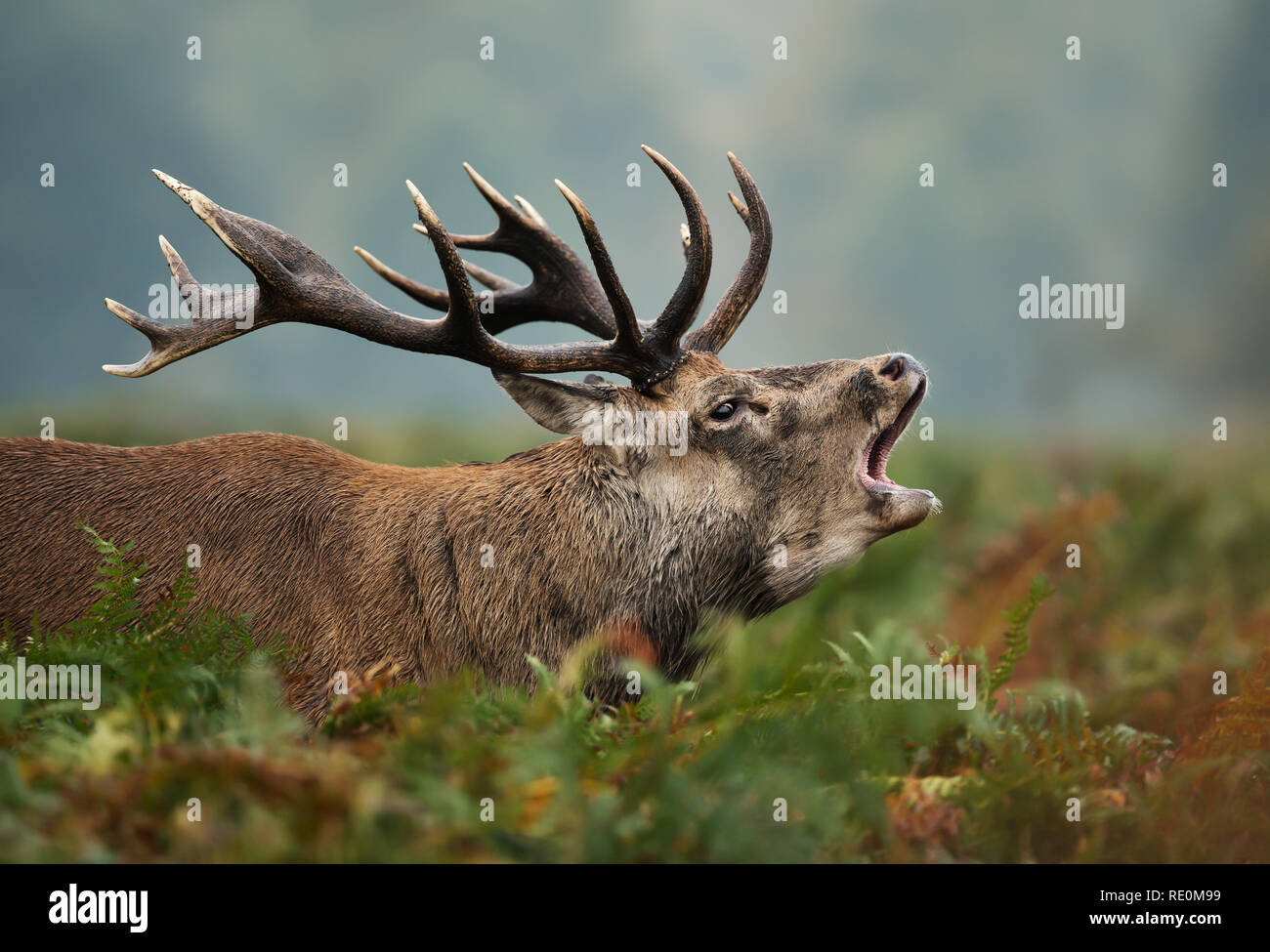 Close-up of red deer stag bellowing during rutting season in autumn, UK. - Stock Image