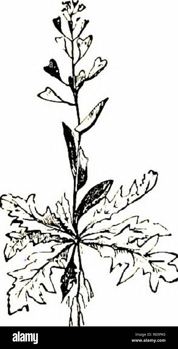 """. Flowers of the field. Botany. CRTTCIFEROUS TRIBE 19 received from having been """" formerly used in the Mithridate confpc- tion, an elaborate hodge-podge now laid aside.""""—Sir E. J. Smith. The flowers are white, and very small in comparison with tiie pouches.—Fl. all the summer. Annual.. 2. T. perjvUatuin (Pcrioliatc Fcimy Cress).—Pouch inversely heart-shaped, not so large as in the last, and with smaller wings ; style shorter than the notch of the pouch ; seeds 3-4 in a cell, smooth ; stem-leaves oblong, heart-shaped at the base, clasping the stem ; height up to 6 inches. Limestone pa Stock Photo"""