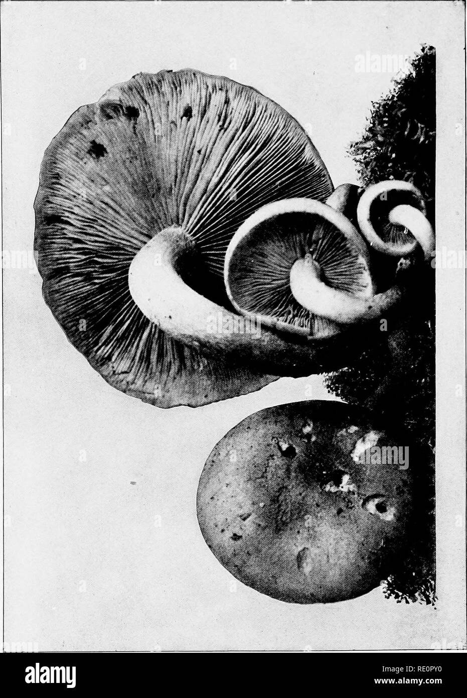 . The mushroom book : a popular guide to the identification and study of our commoner Fungi, with special emphasis on the edible varieties . Mushrooms; Mushrooms, Edible; Cookery (Mushrooms); cbk. I. Please note that these images are extracted from scanned page images that may have been digitally enhanced for readability - coloration and appearance of these illustrations may not perfectly resemble the original work.. Marshall, Nina L. (Nina Lovering). Garden City, N. Y. : Doubleday, Page - Stock Image