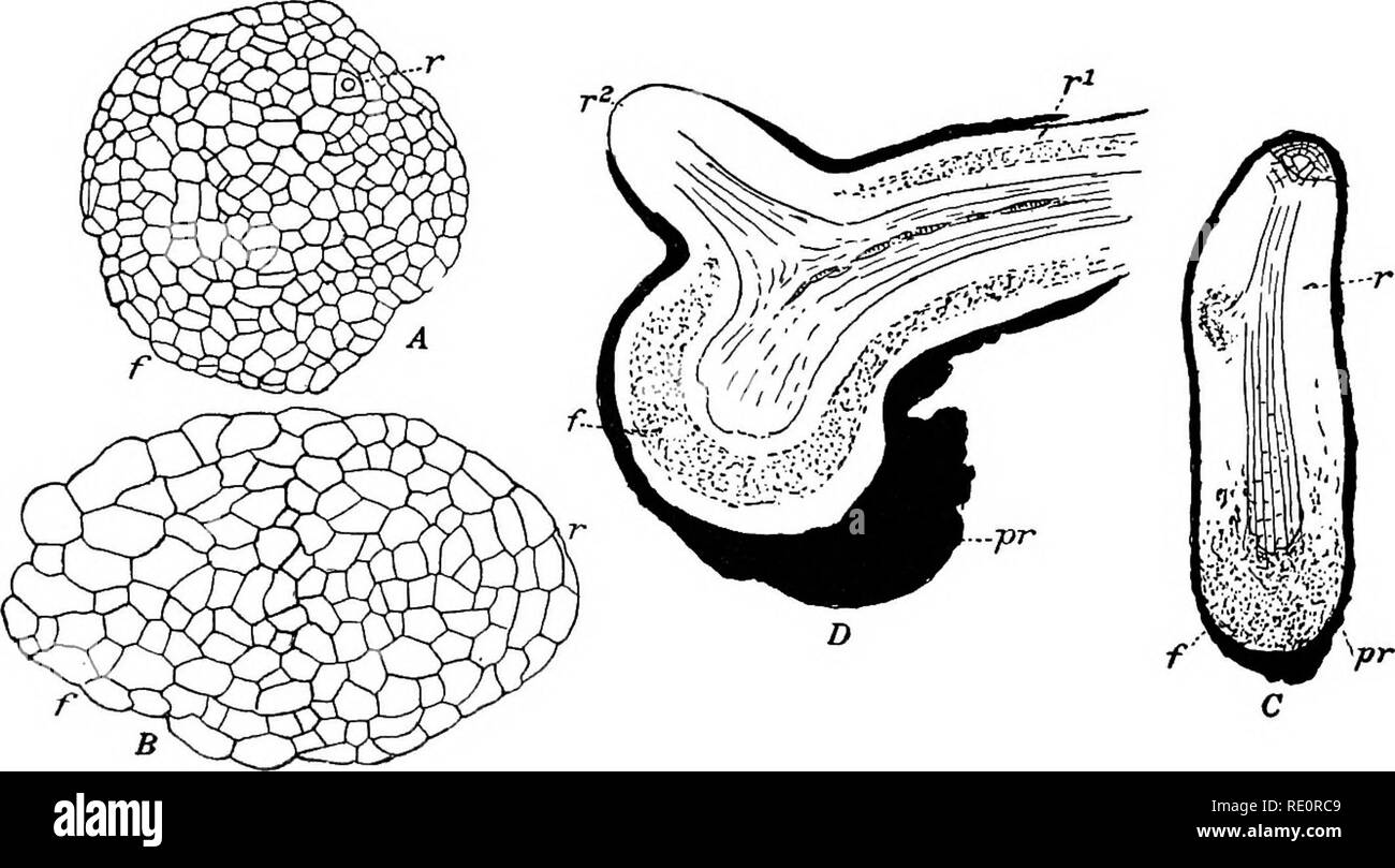 . The Eusporangiatae; the comparative morphology of the Ophioglossaceae and Marattiaceae. Ophioglossaceae; Marattiaceae. THE EMBRYO 37 pendulum only one of the definitive organs, the root, arises in this way, and this becomes diflFerentiated at a very early period. One of the octants next to the arche- gonium at once becomes the apical cell of the young root. This cell is very soon recognizable by its size and shape, and quickly begins its regular segmentation. The primary cap-cell is soon cut off (fig. 20, D), and from now on the young root is very conspicuous. The octant divisions are very c - Stock Image
