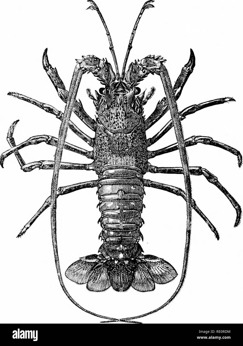 . An introduction to the study of zoology : by T. H. Huxley, F. R. S. ; with eighty-two illustrations. Crayfish; Zoology. Fig. 70. Palinvms viilgarU (about J nat. size).. Please note that these images are extracted from scanned page images that may have been digitally enhanced for readability - coloration and appearance of these illustrations may not perfectly resemble the original work.. Huxley, Thomas Henry, 1825-1895; Huxley, Thomas Henry, 1825-1895. Crayfish. New York : D. Appleton Stock Photo
