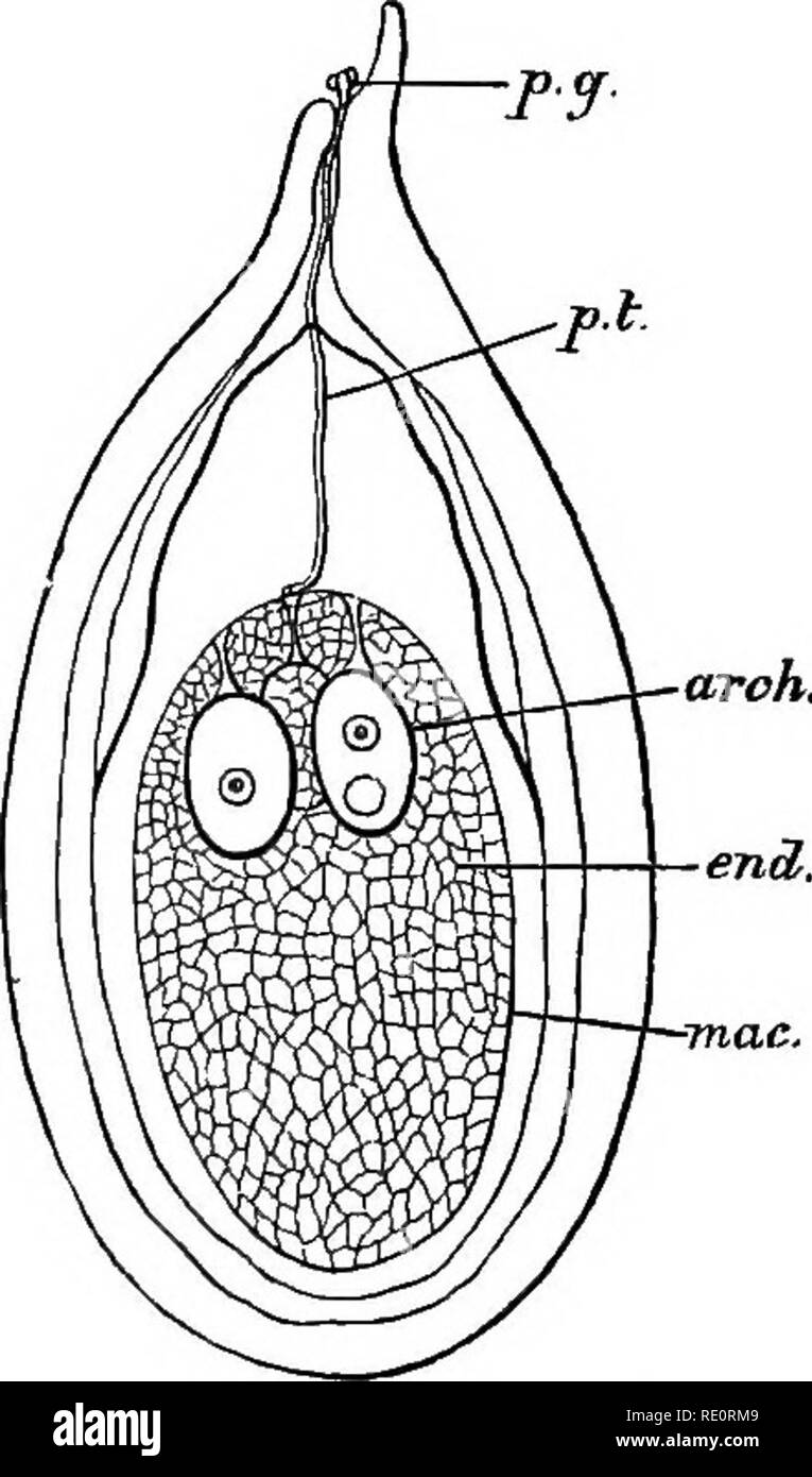 . An introduction to vegetable physiology. Plant physiology. EEPRODUCTION 441 detached from the parent sporophyte and disseminated in various ways. In the Angiosperms the formation of the seed is in the main similar to the process described, but it has certain peculiar features. The embryo-sac or megaspore has the same structure as in the Gymnosperms and remains en- closed in the sporangium or ovule. The development of the prothallium is different. The megaspore has a single. Please note that these images are extracted from scanned page images that may have been digitally enhanced for readabil - Stock Image