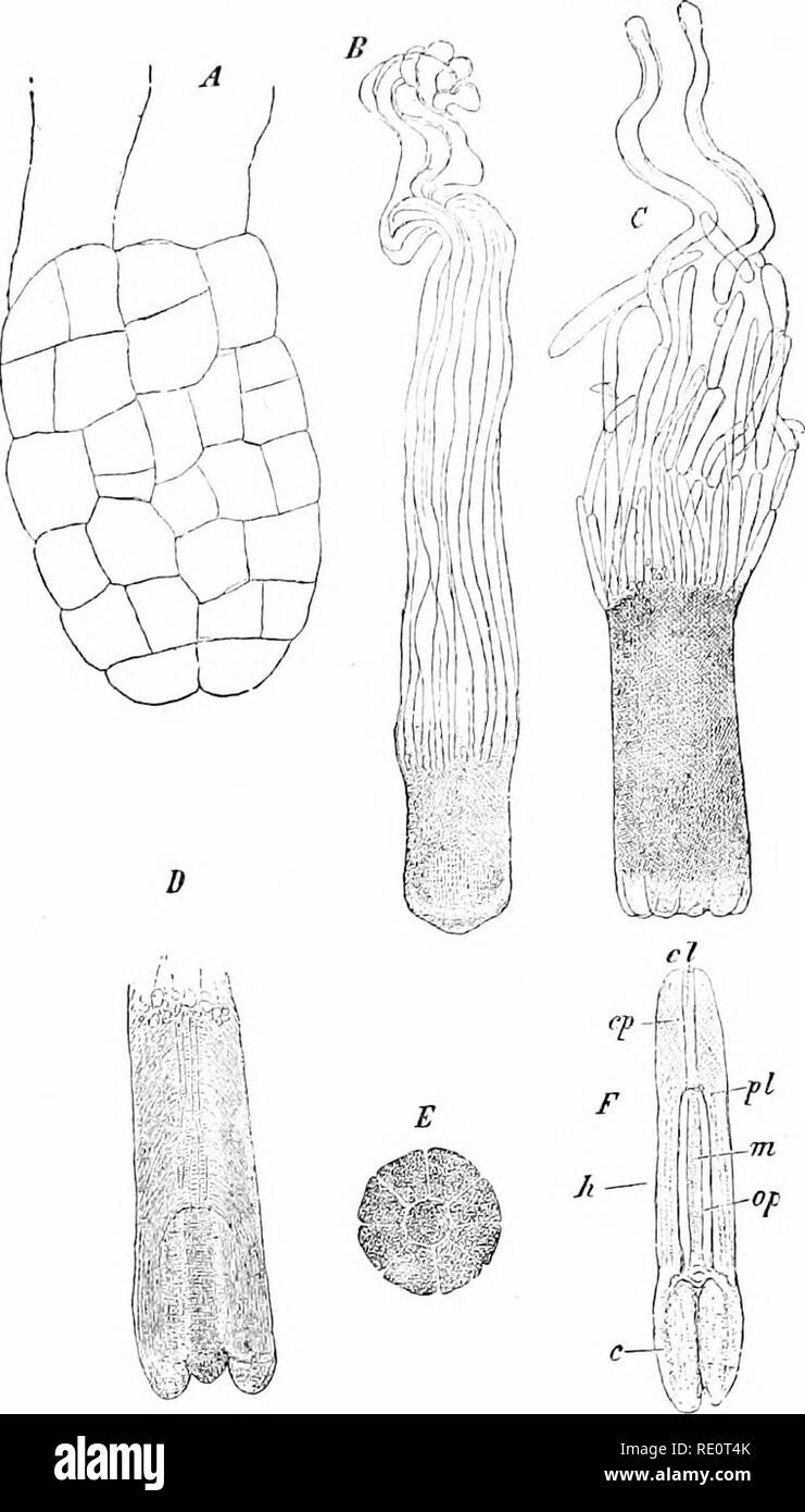 . Plants and their uses; an introduction to botany. Botany; Botany, Economic. CRYPTOGAMS AND PHENOGAMS 553. Fig. 380.—Norway Spruce. Growth of embryo. A, early stage, if«. B, later stage, ^f. C, half-ripe embryo, showing below the protrusions from which the cotyledons are formed, t. D, same, cut vertically. E, .same, end view, showing the eight rudimentary cotyledons surround- ing the stem-tip. F, embryo, fully formed (?), out vertically to show the seed-leaves or cotyledons (c), the seed-stem (h), the beginning of the root (pi), root-cap (cp), fibrovascular cylinder of root (cl), pith of stem - Stock Image