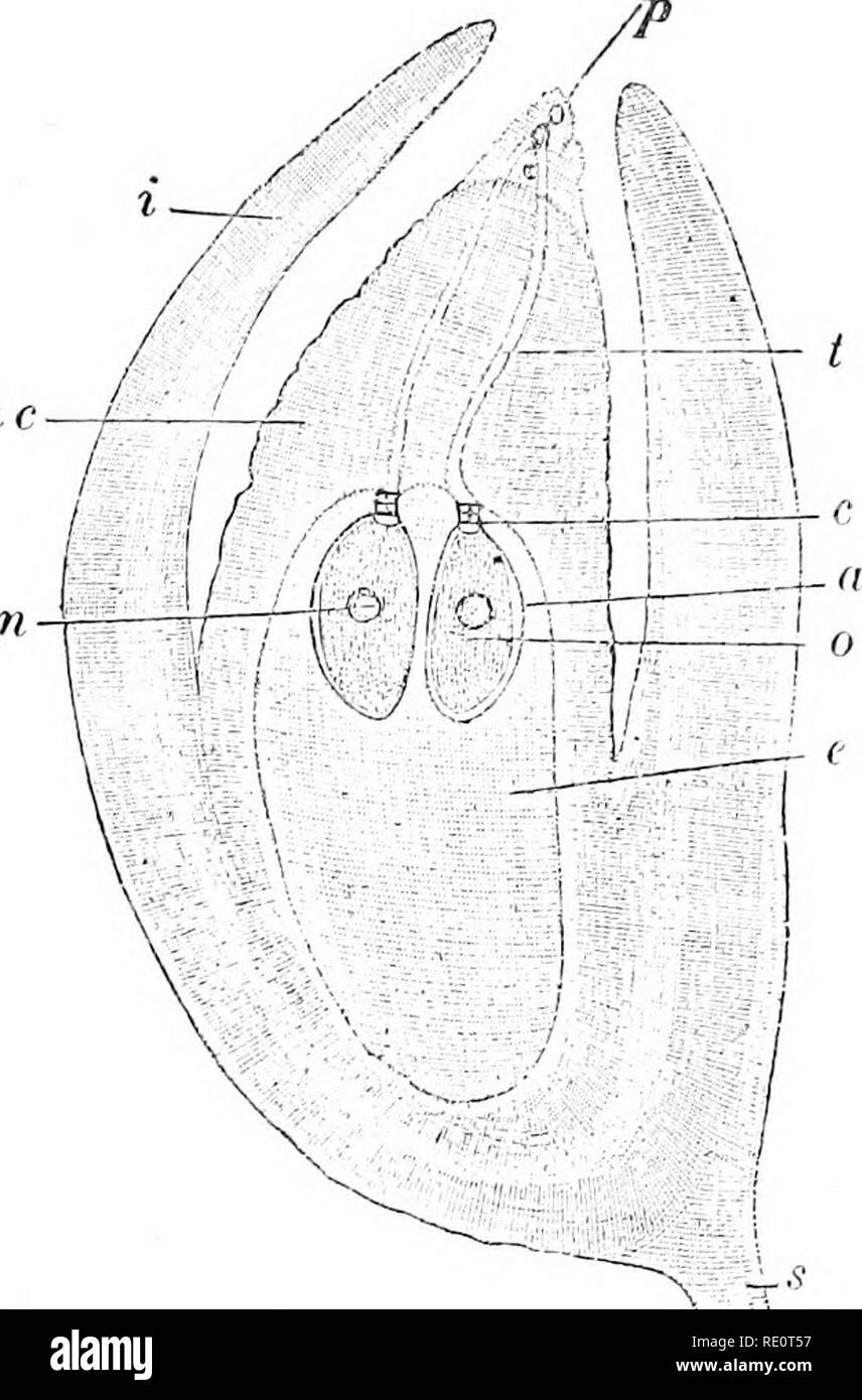 . Plants and their uses; an introduction to botany. Botany; Botany, Economic. CRYPTOGAMS AND PHENOGAMS 551. Fig. 378.—Norway Spruce. Ovule out vertically and enlarged to show the embrj'o-sac («?) filled Ijy the prothallus or endosperm and two archegonia (o), each with its nock (c) and swollen iJart (o) which contains an egg- cell with a nucleus («); the nueellus (nc) surrounded by the intconments (i); pollen-grains (p) from which come pollen-tubes (() extending to the archegonia; and a part of the seed-wing (5). (Strasburger.) Pinus and related genera will doubtless be sufficienth' clear witho - Stock Image