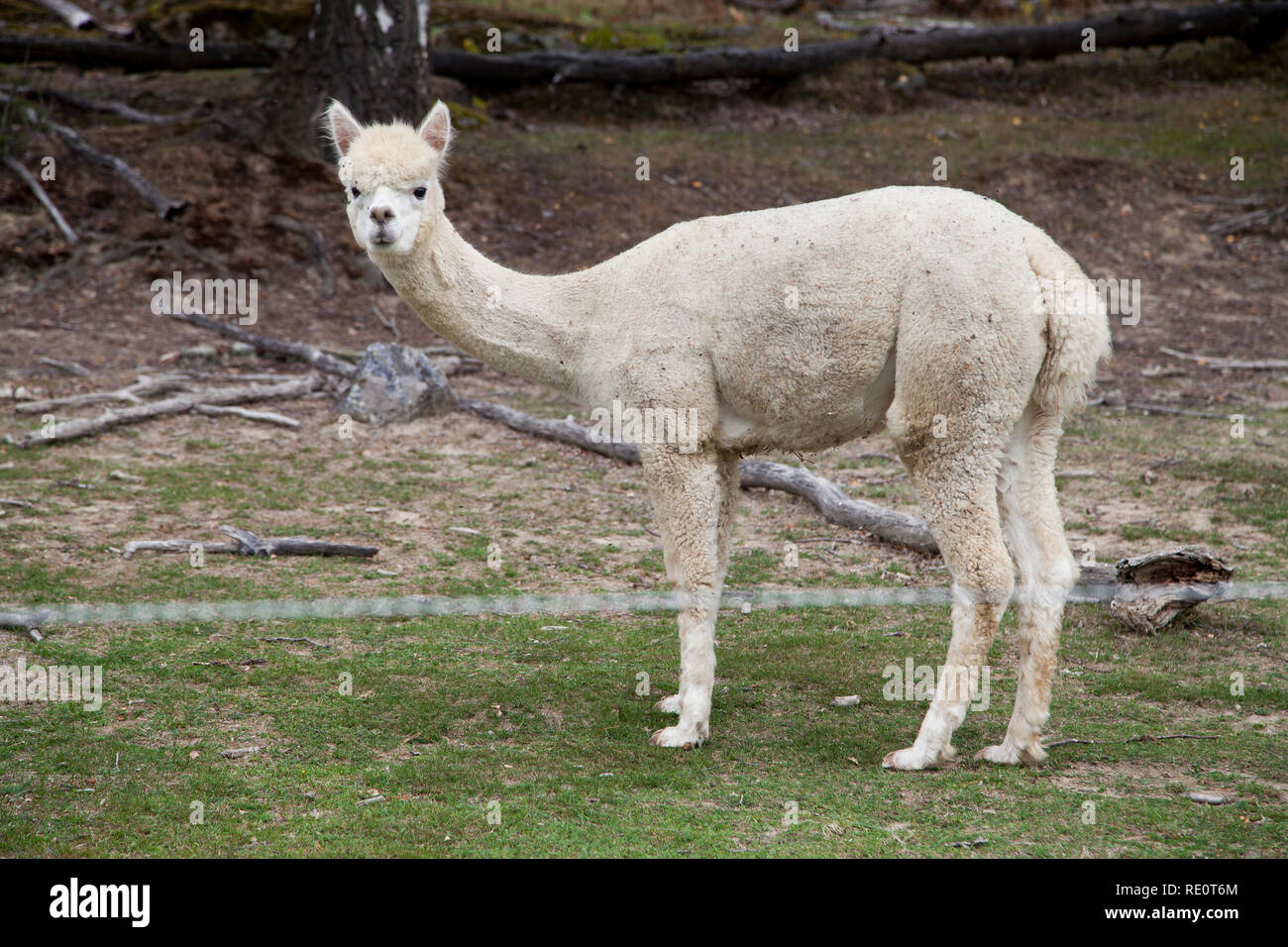 ALPACA is a species of South American camelid and new species of animals at some Swedish farms Stock Photo